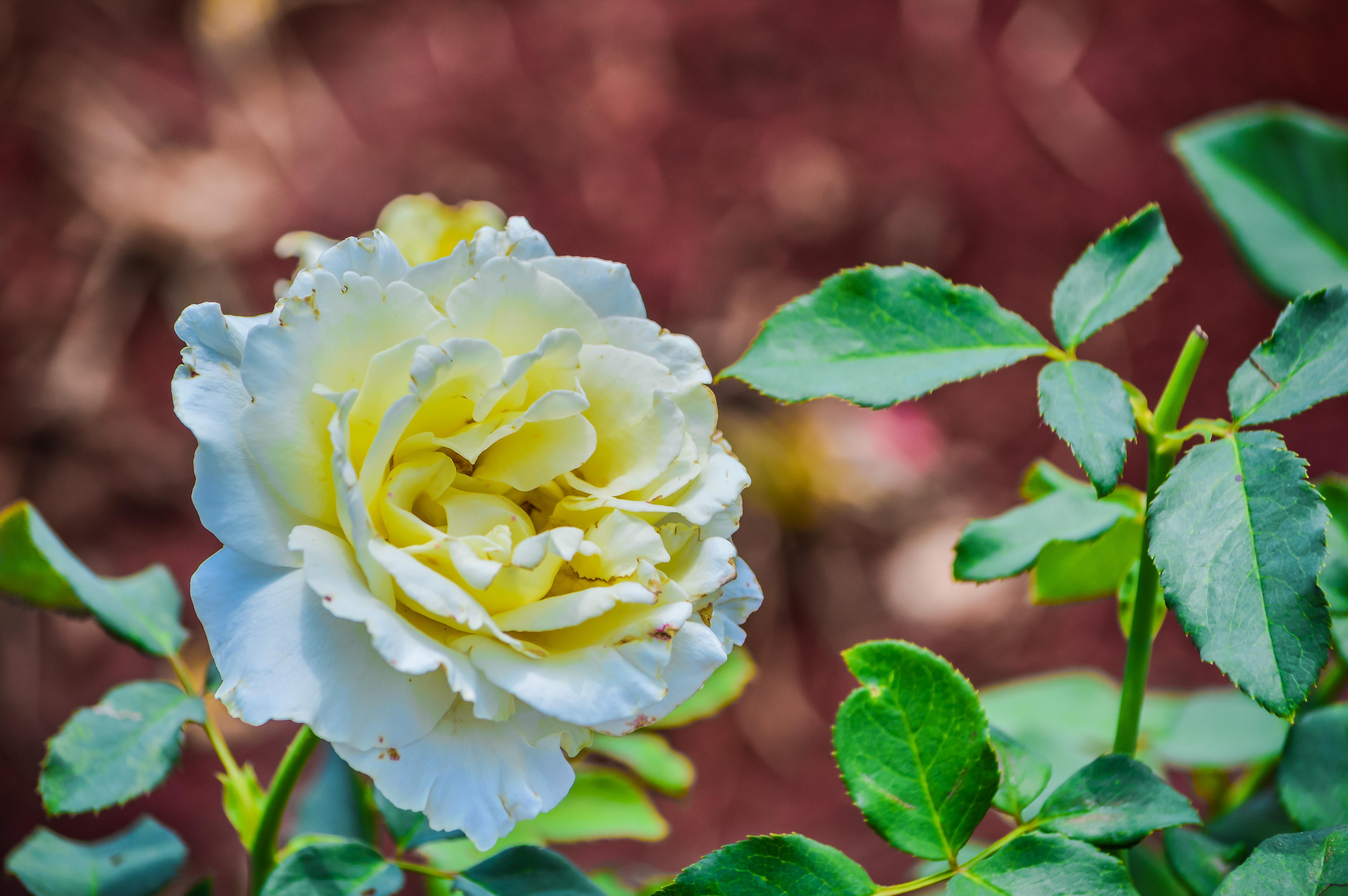 Gratis afbeeldingen natuur bloesem bokeh fabriek wit blad bloem bloemblad bloemen - Kleur rood ruimte ...