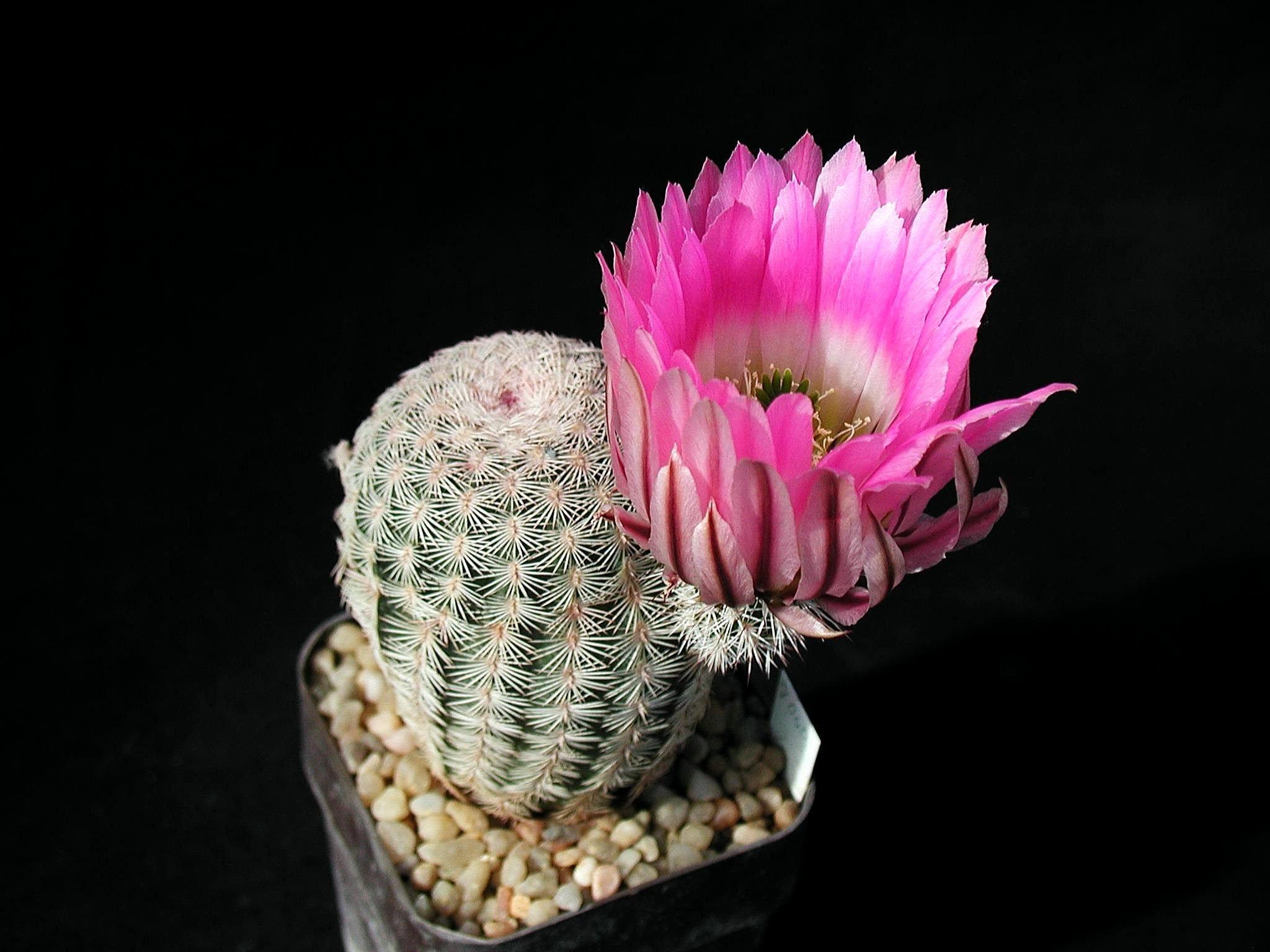 мне нравится цветущий кактус картинки другом