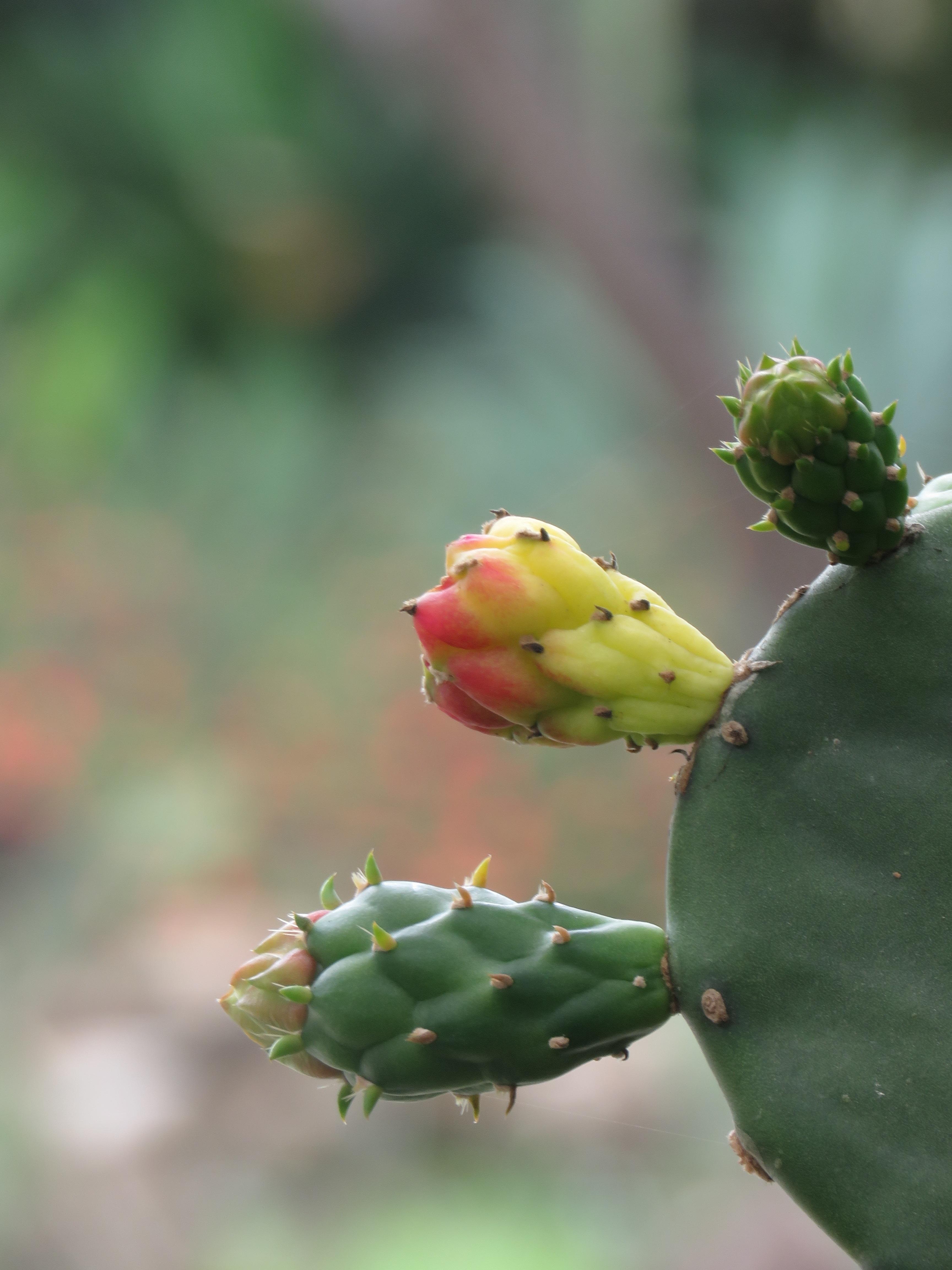 Какие бутоны у кактусов фото