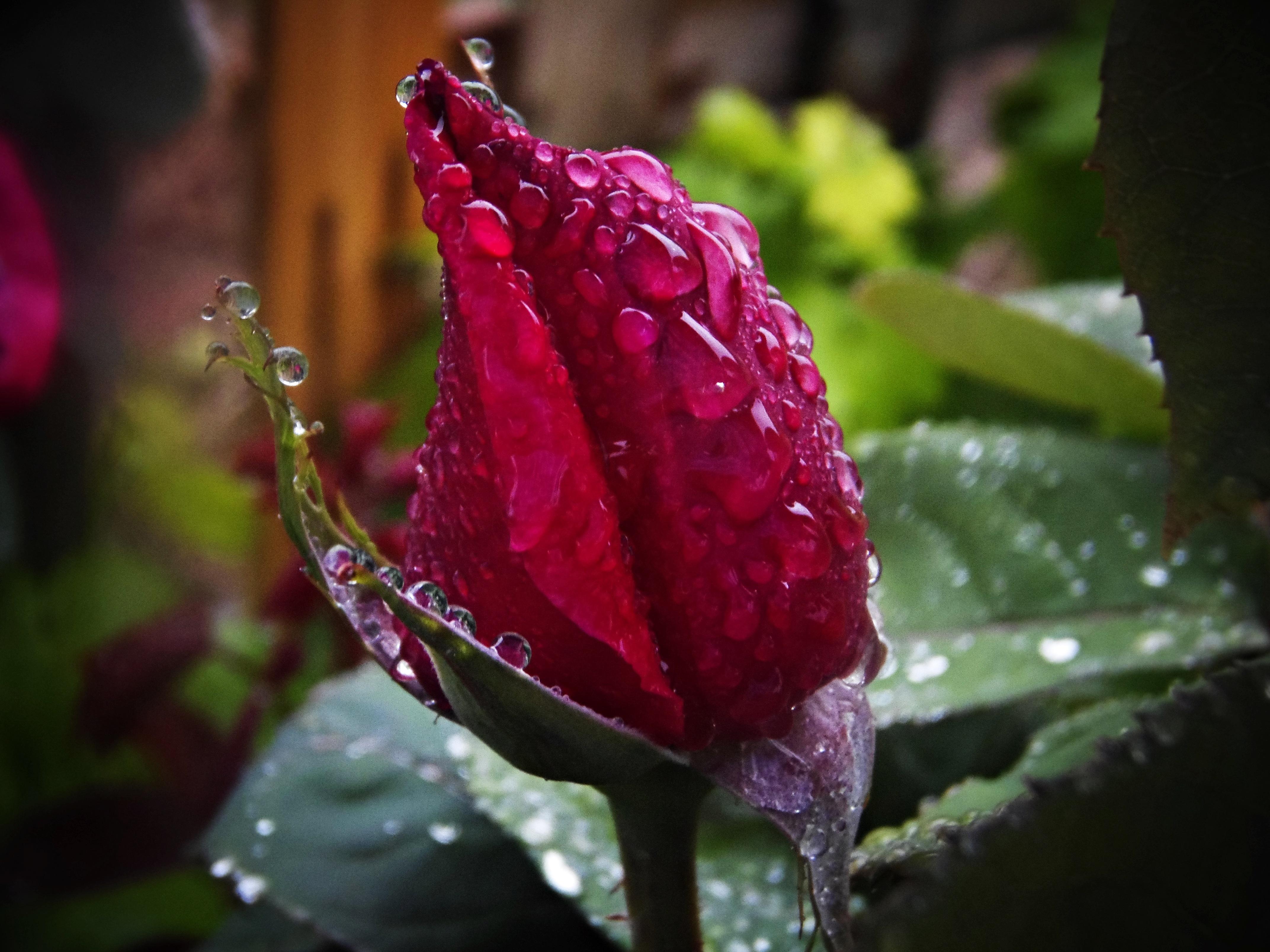 700+ Gambar Bunga Mawar Basah  Terbaik