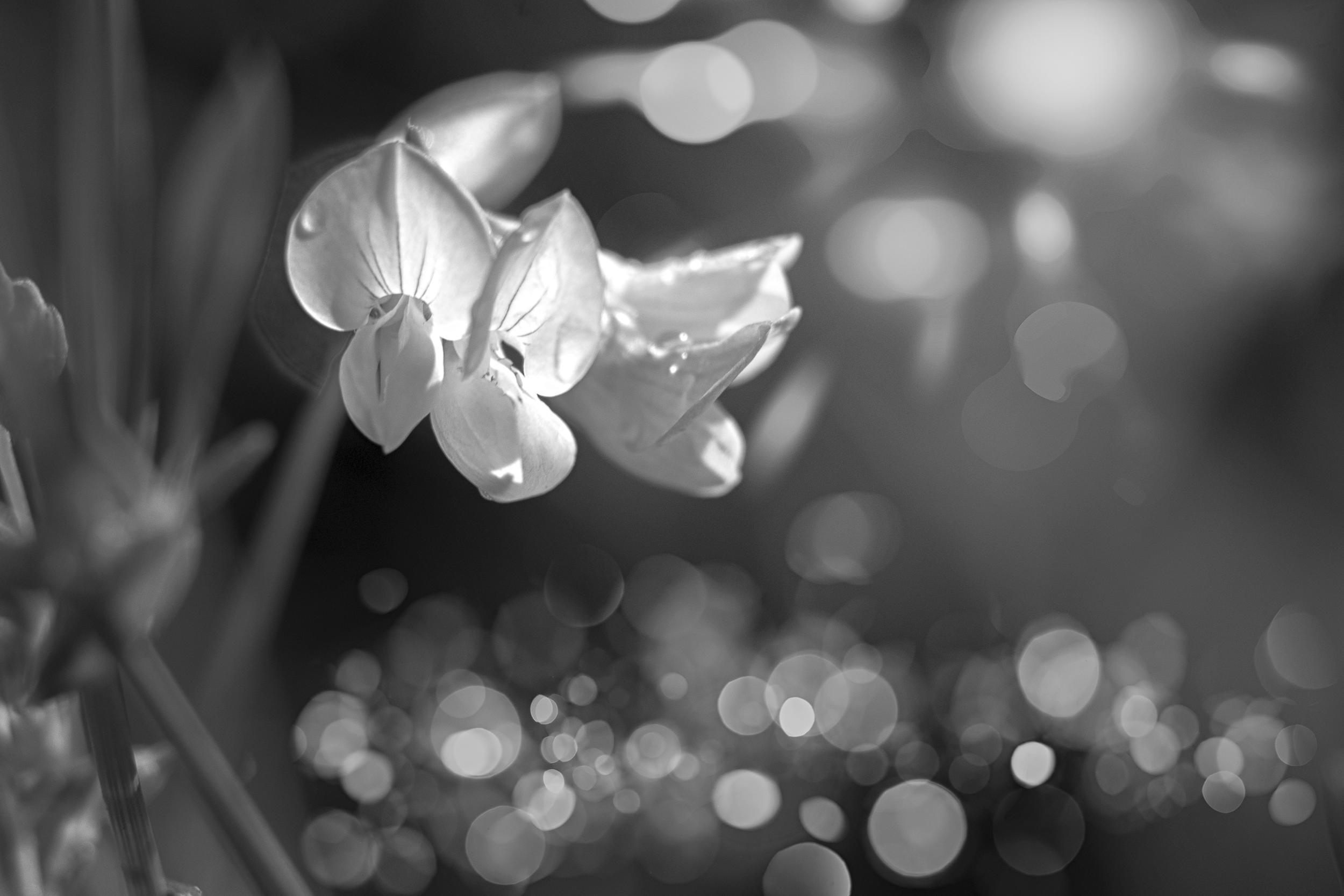 Free Images Nature Blossom Light Black And White Plant