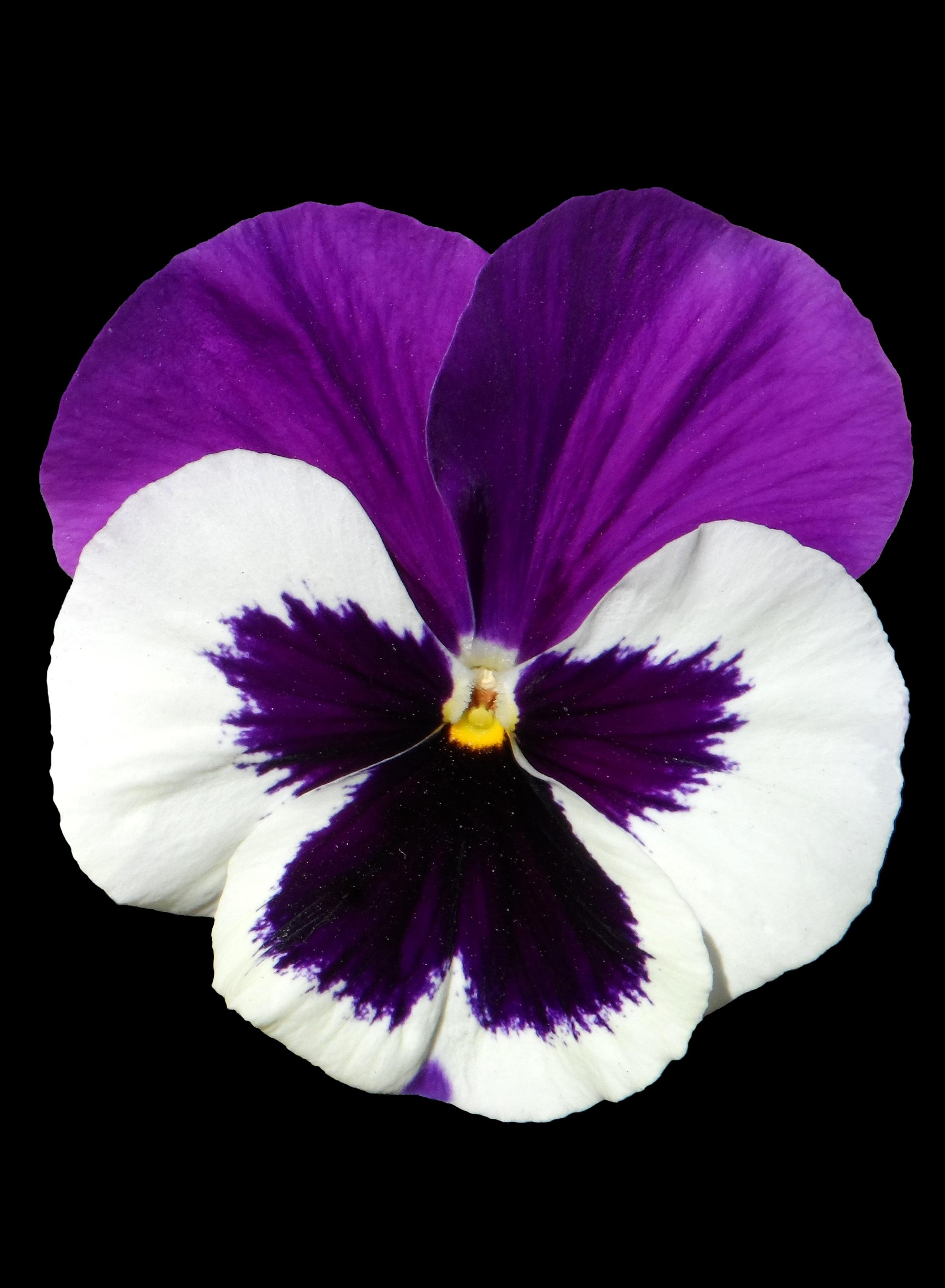 Fotoğraf Doğa ışık Mor Taçyaprağı çiçek Açmak Yalıtılmış
