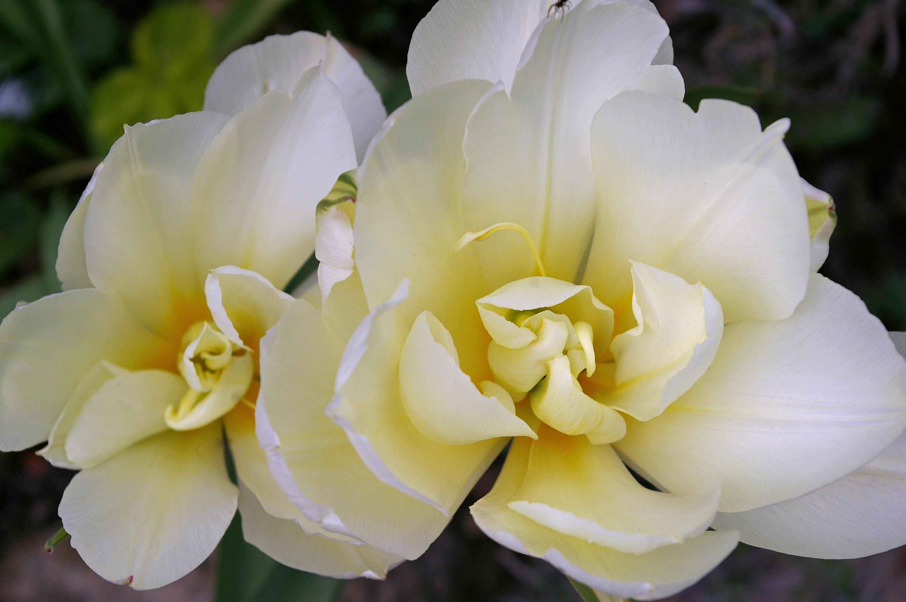 free images nature blossom open petal bloom rose spring botany yellow garden decor flora flower bed exotic floristry awakening - Open Garden Decor