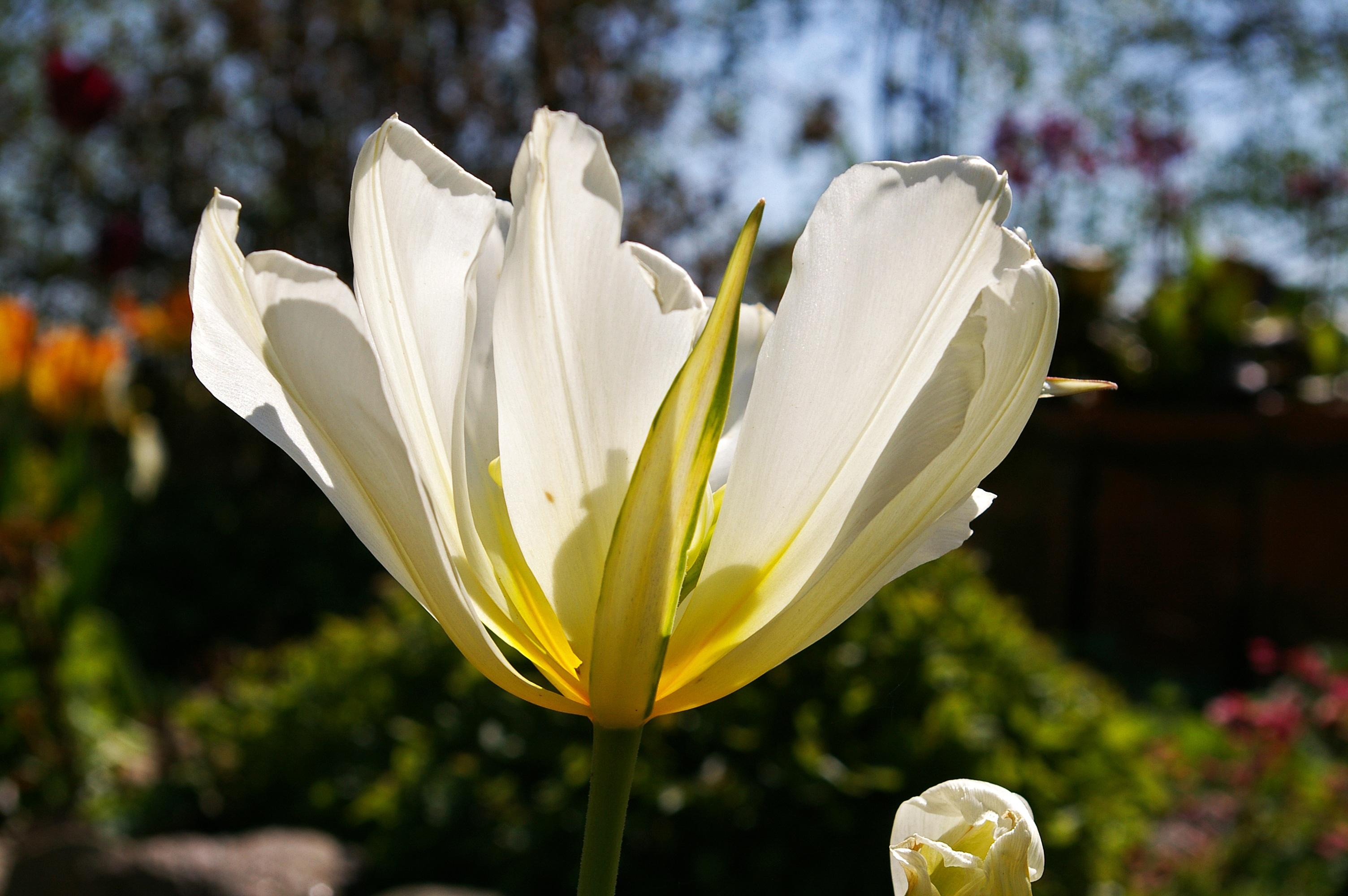 Gratis billeder : natur, åben, hvid, kronblad, flor, forår, botanik ...
