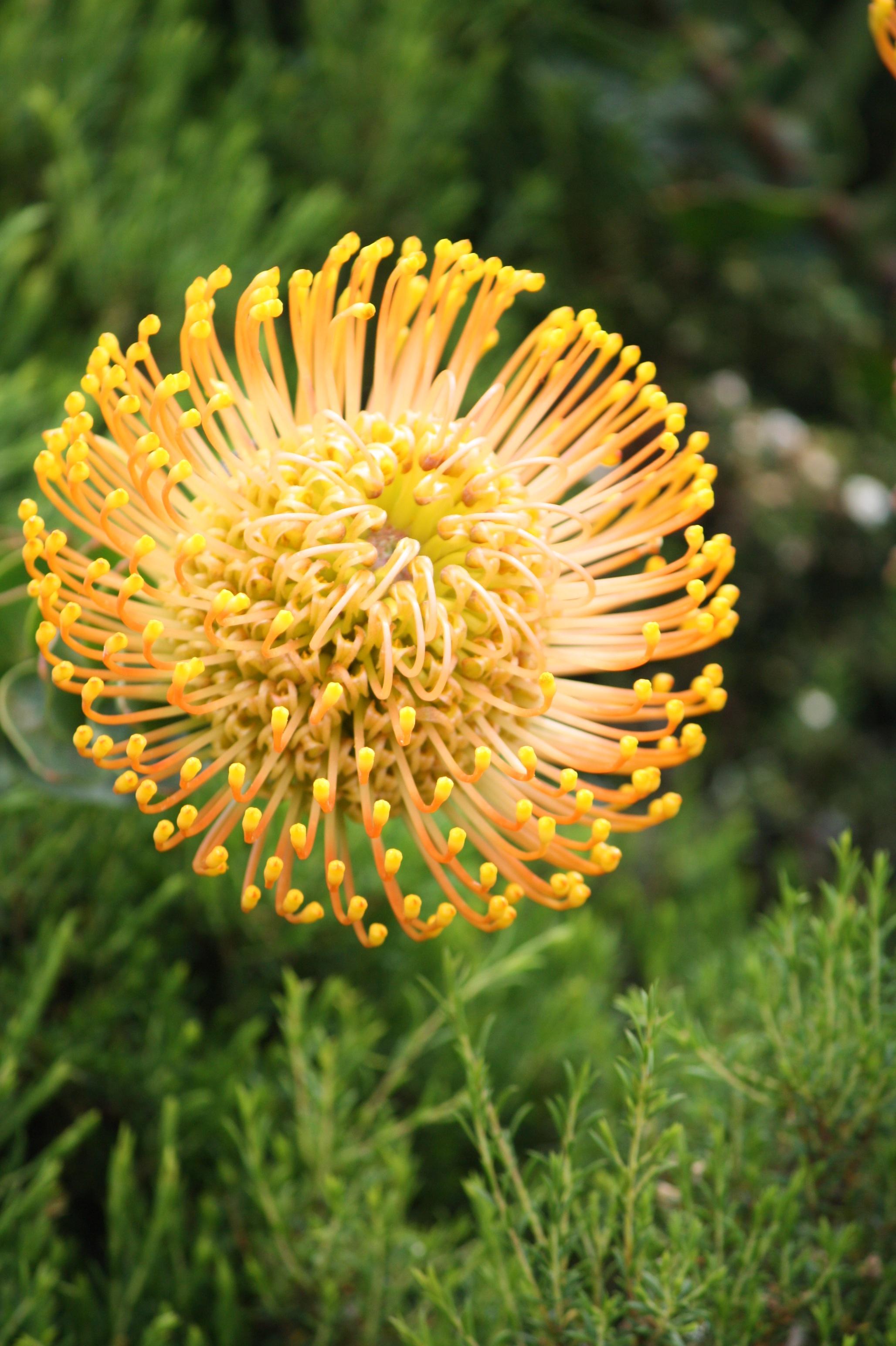 kostenlose foto natur bl hen l wenzahn blume botanik gelb flora wildblume s dafrika. Black Bedroom Furniture Sets. Home Design Ideas