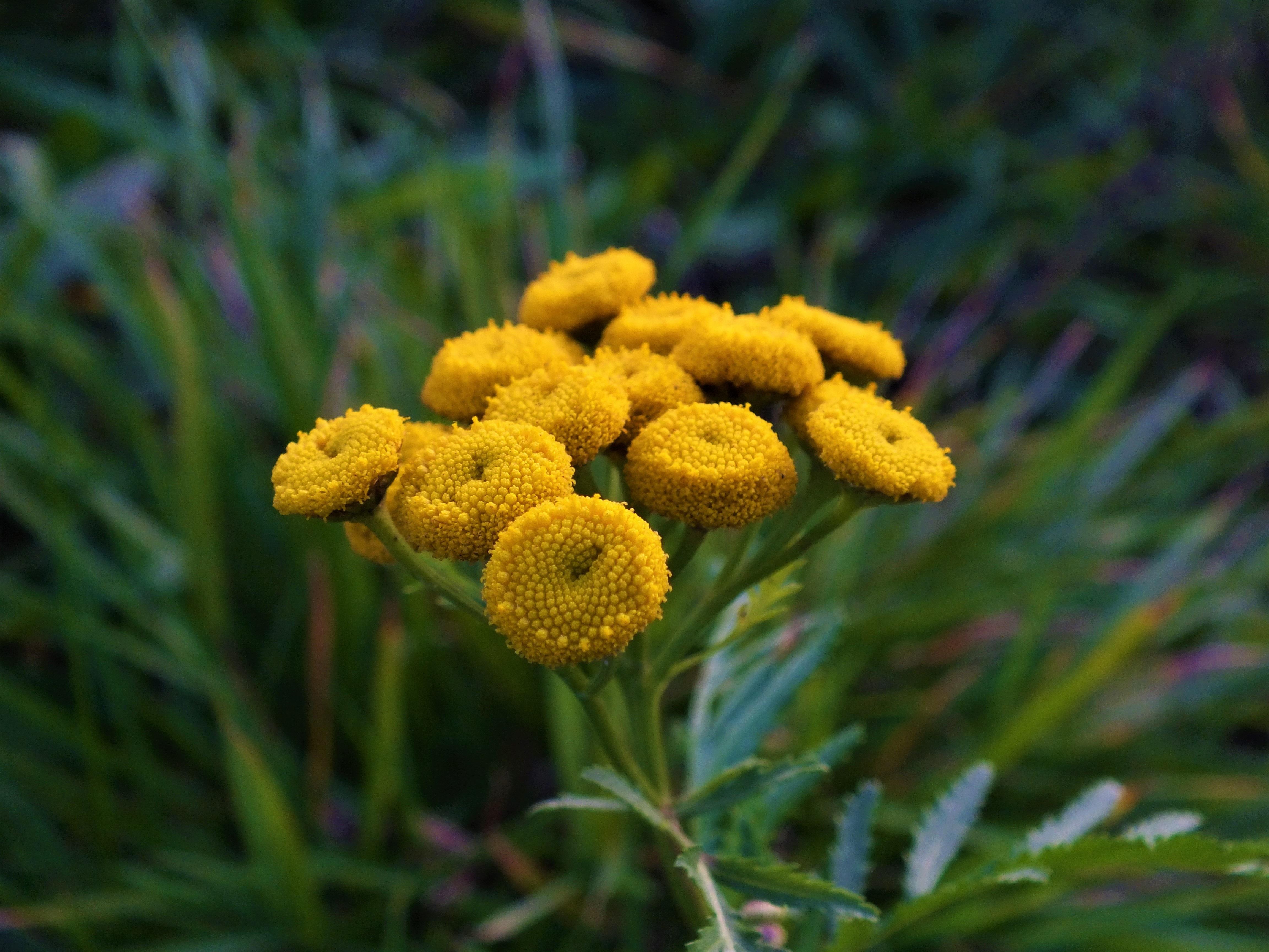 Fiori Giallo Oro.Immagini Belle Natura Fiorire Dente Di Leone Foglia