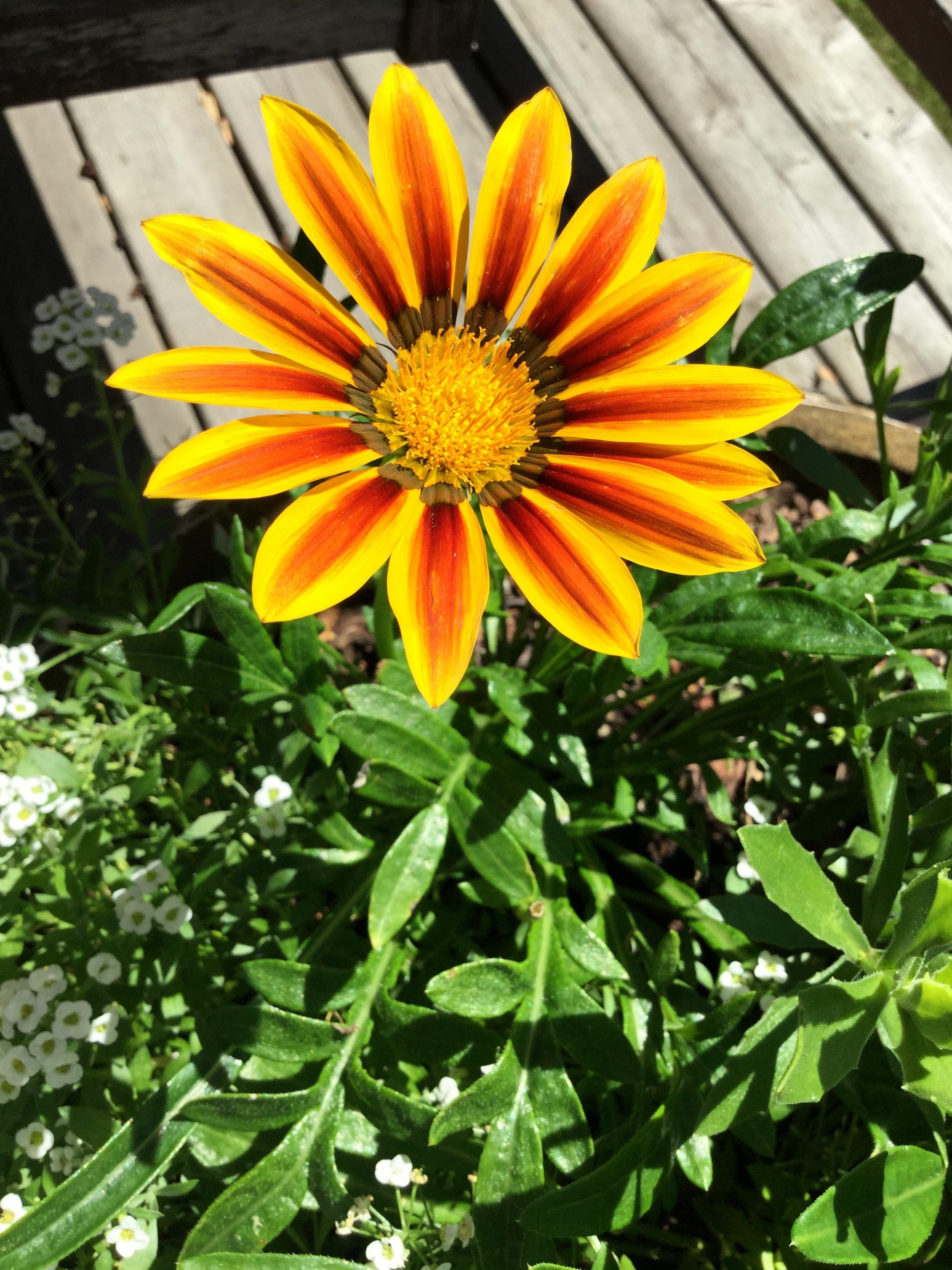 Populares Banco de imagens : natureza, Flor, plantar, baralho, madeira  NH39
