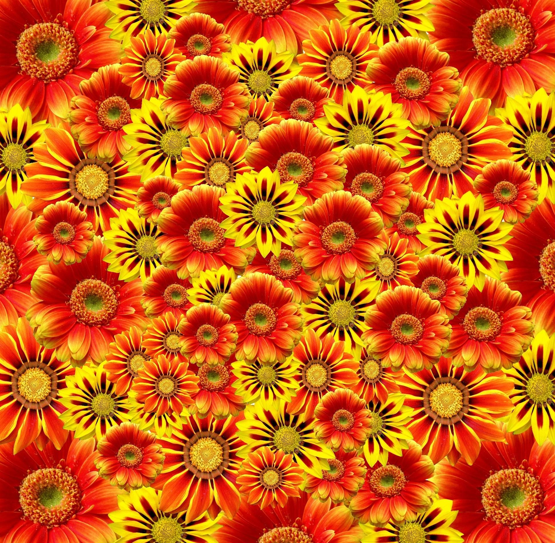 Populares Banco de imagens : natureza, plantar, campo, flor, pétala, verão  EG37