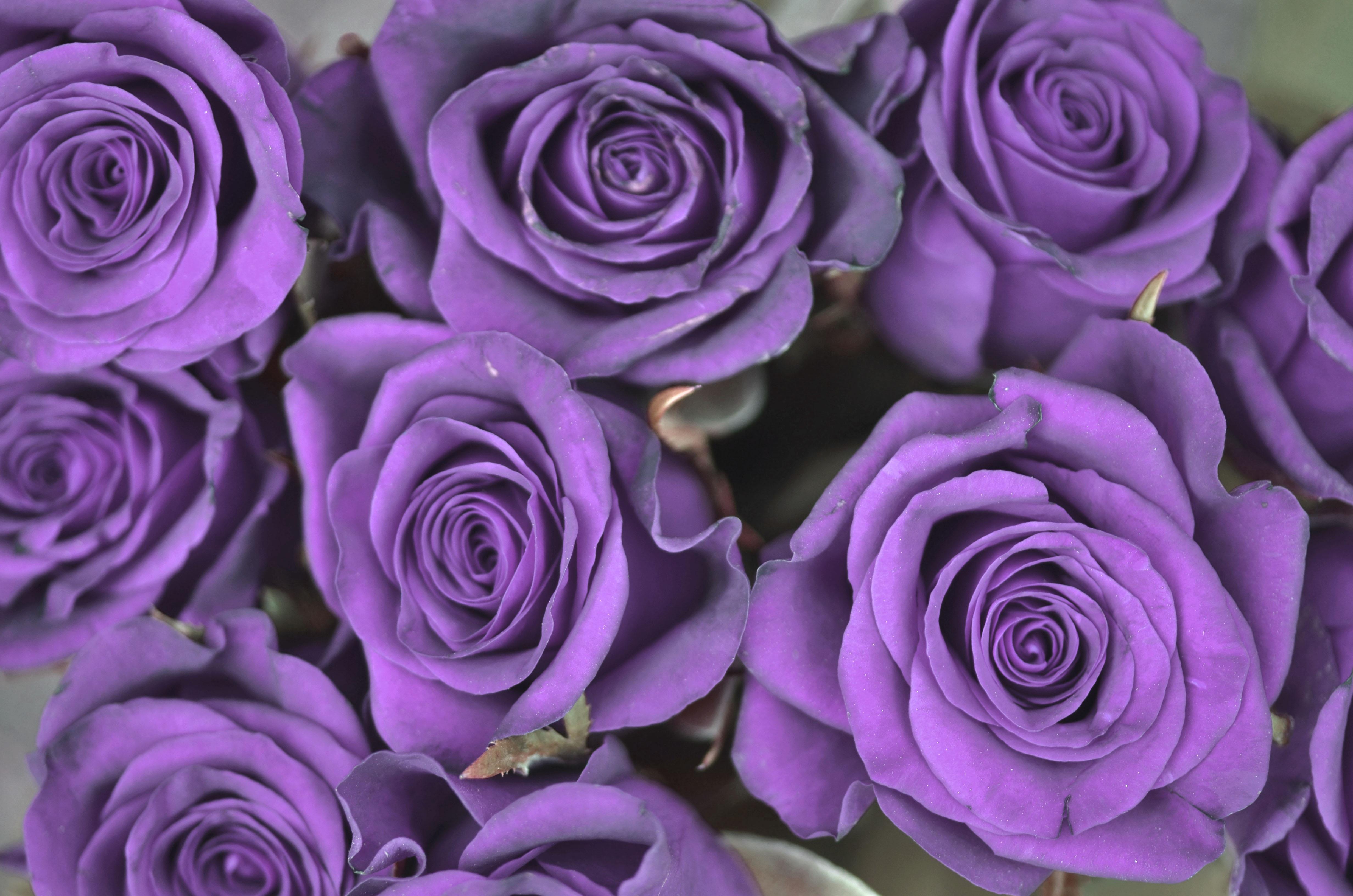 обвиняют фото сирийской сиреневые розы цветущей сарай