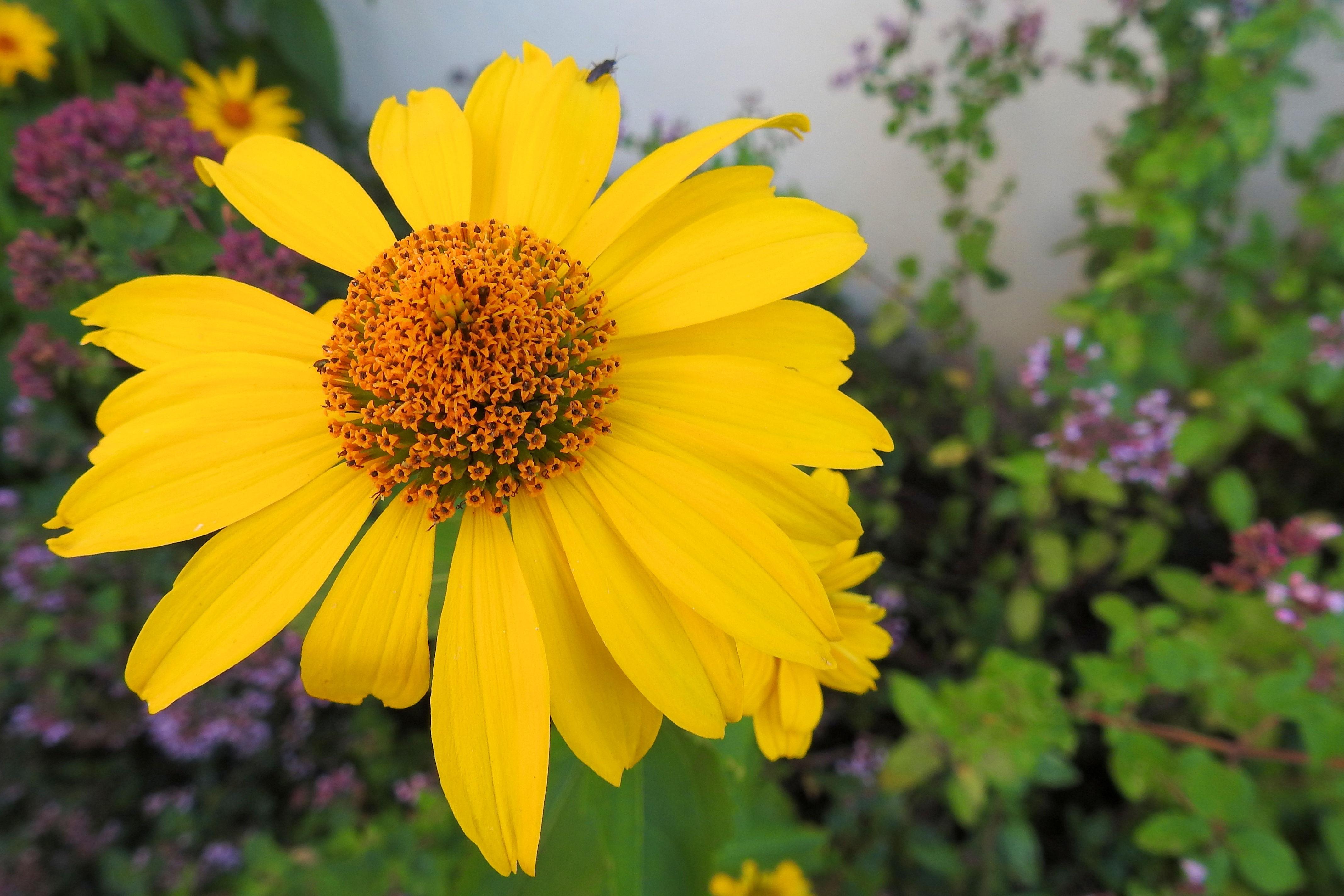 Gratis Billeder Natur Blomst Mark Eng Kronblad Flor Botanik Have Flora Wildflower