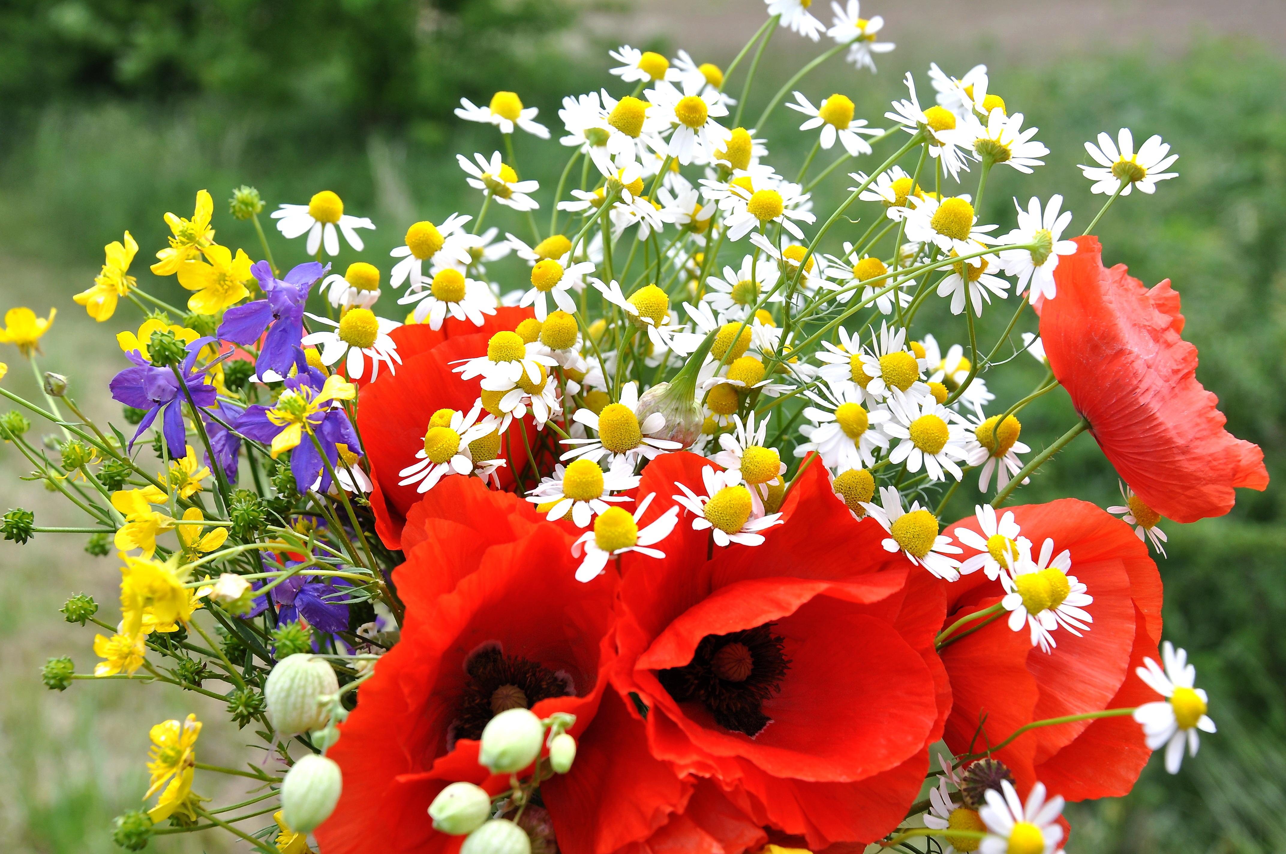 la nature fleur plante champ Prairie fleur pétale été bouquet herbe  botanique flore Fleur sauvage coquelicot