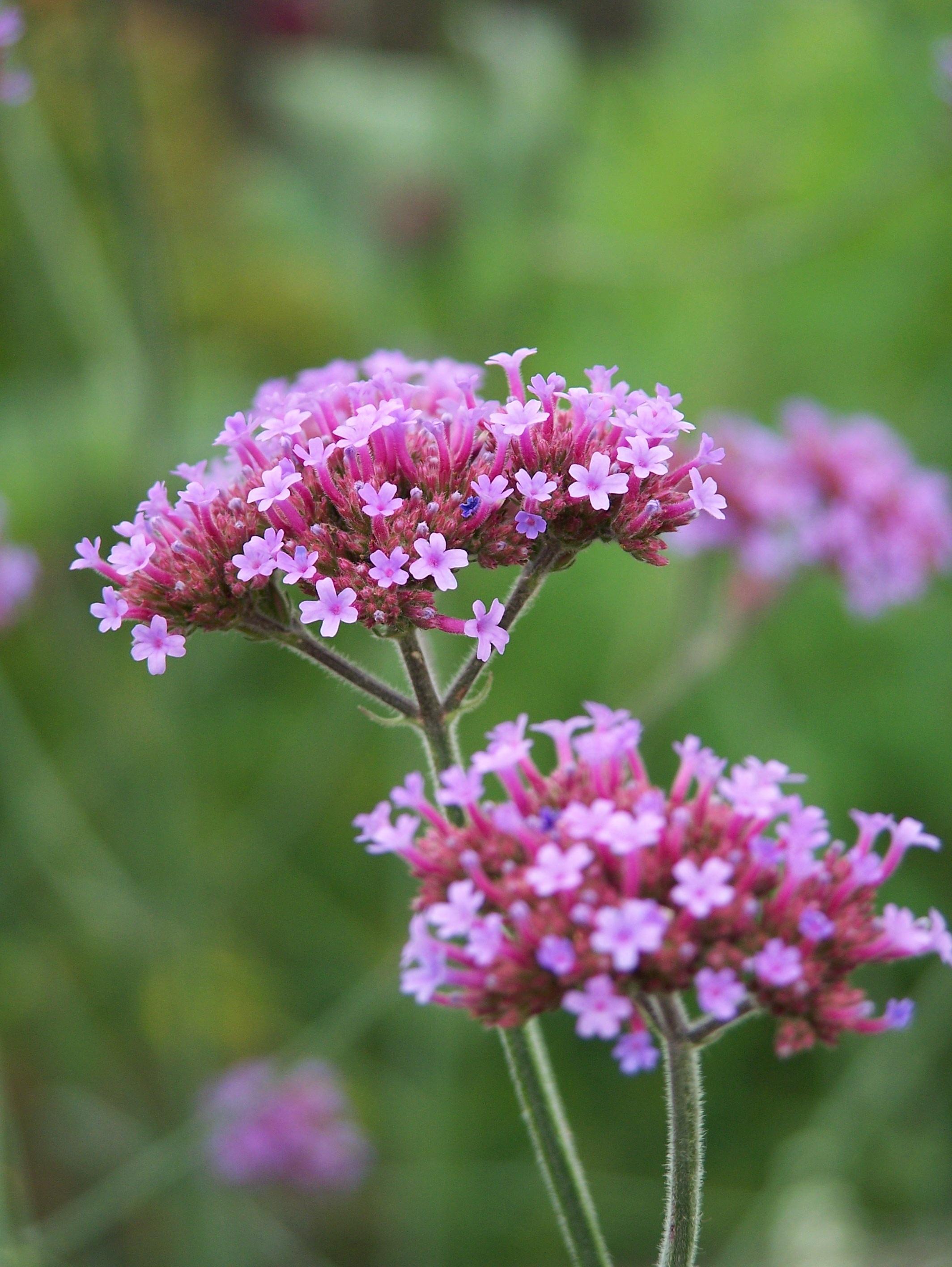 images gratuites : la nature, champ, prairie, violet, floraison
