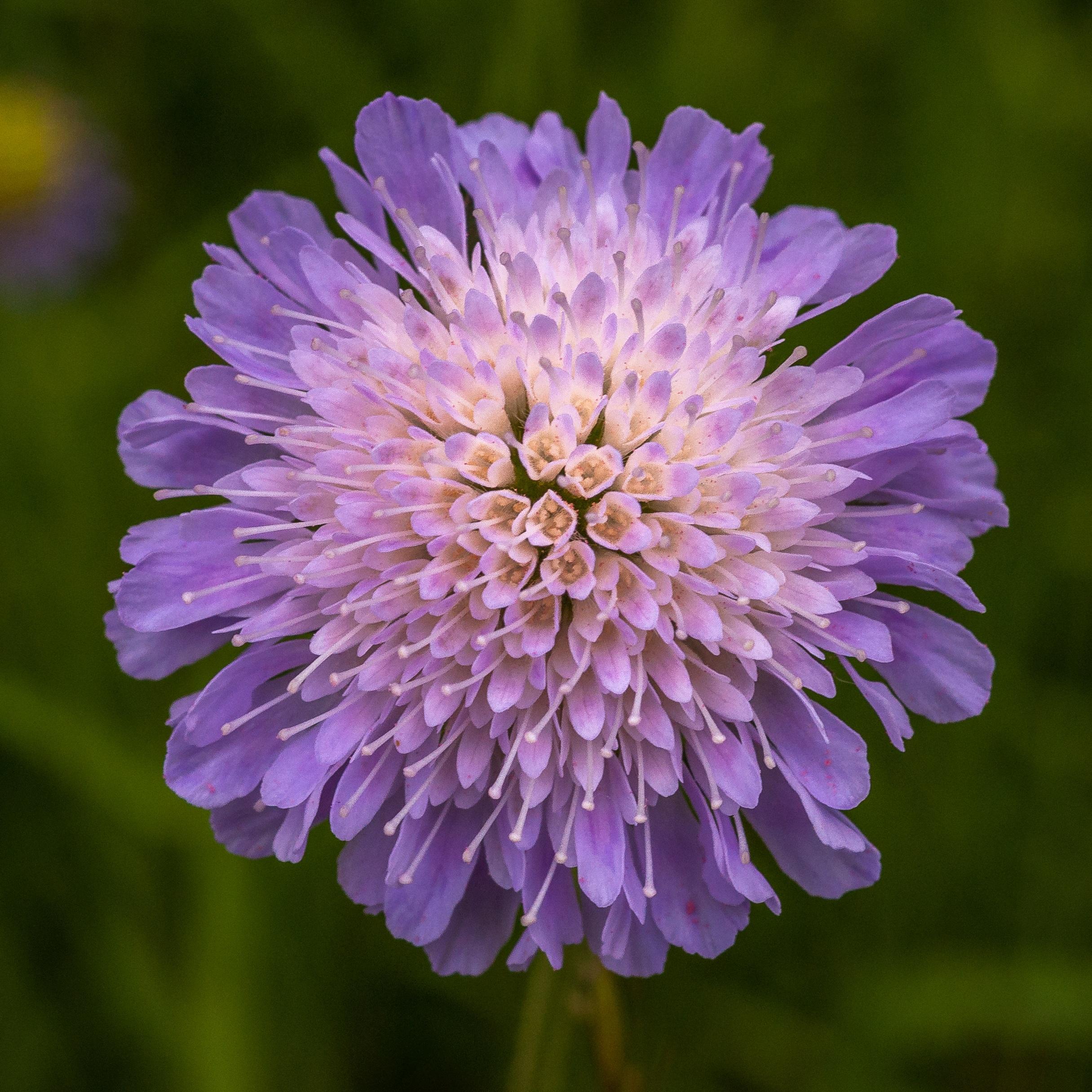 images gratuites : la nature, champ, prairie, violet, pétale