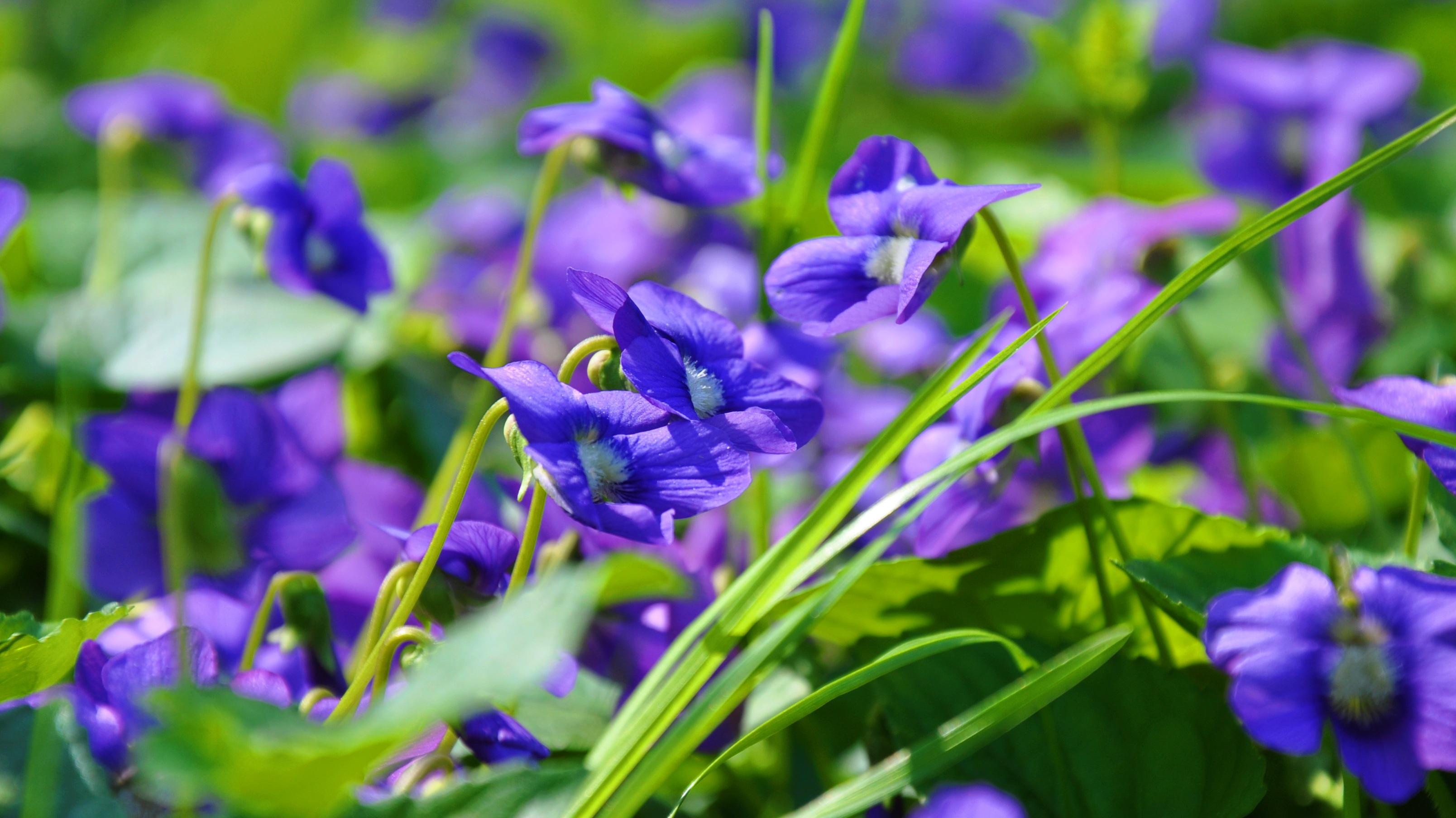 Images gratuites la nature fleur champ prairie printemps botanique flore fleur sauvage - Image fleur violette gratuite ...