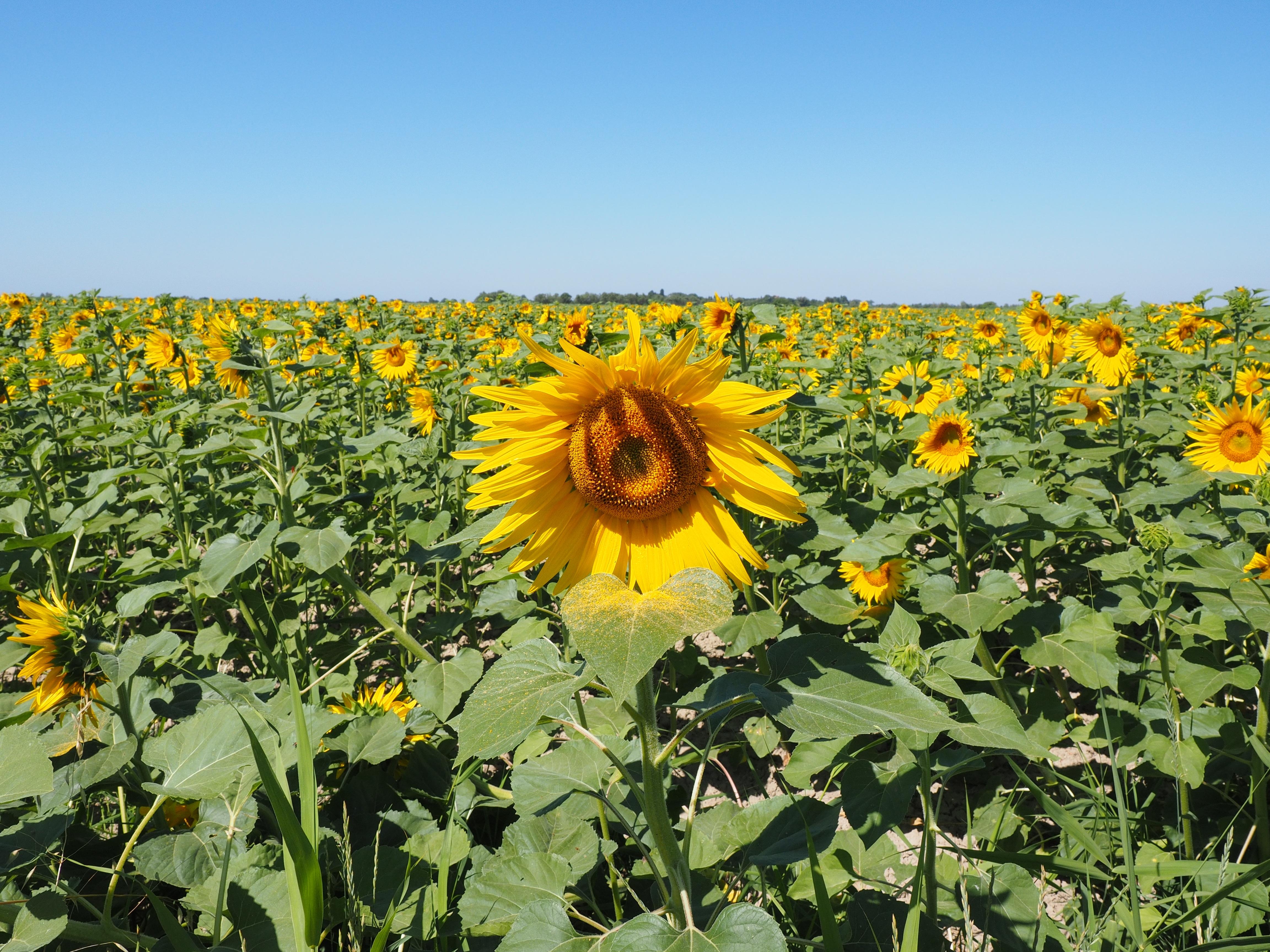 Gambar Alam Mekar Menanam Padang Rumput Menghasilkan Warna Warni Kuning Pertanian Polos Bunga Matahari Bunga Liar Penanaman Cerah Terang Indah Ekosistem Hal Berkembang Bidang Bunga Matahari Tanaman Berbunga Keluarga Daisy Ekonomi