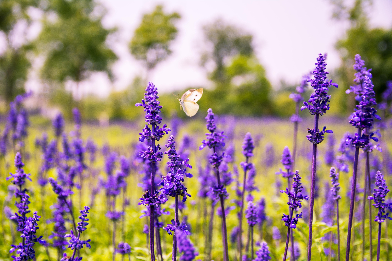 fotos gratis   naturaleza  campo  prado  pradera  bot u00e1nica  agricultura  flora  lavanda  flor