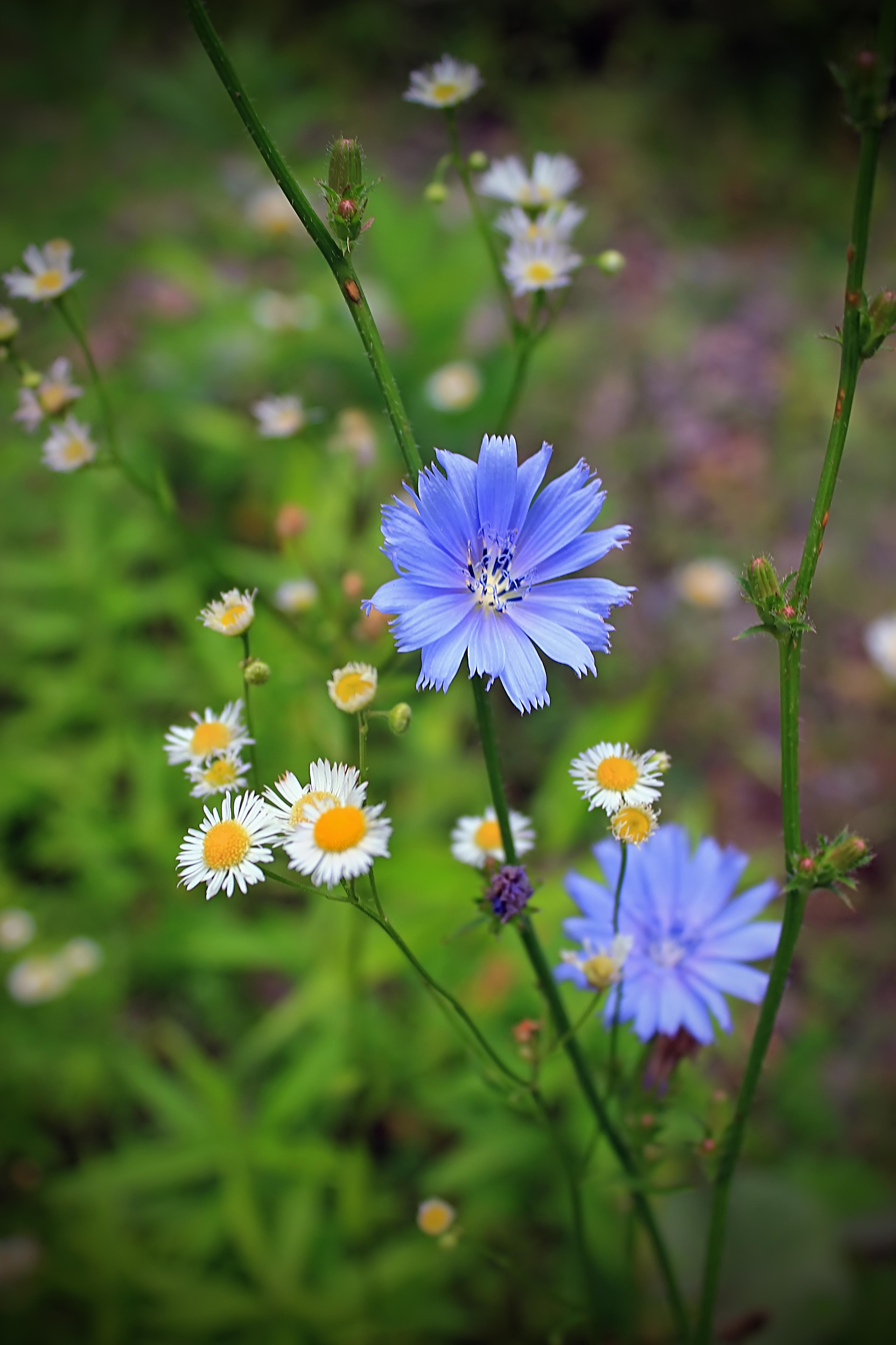 Картинки полевые цветы фото