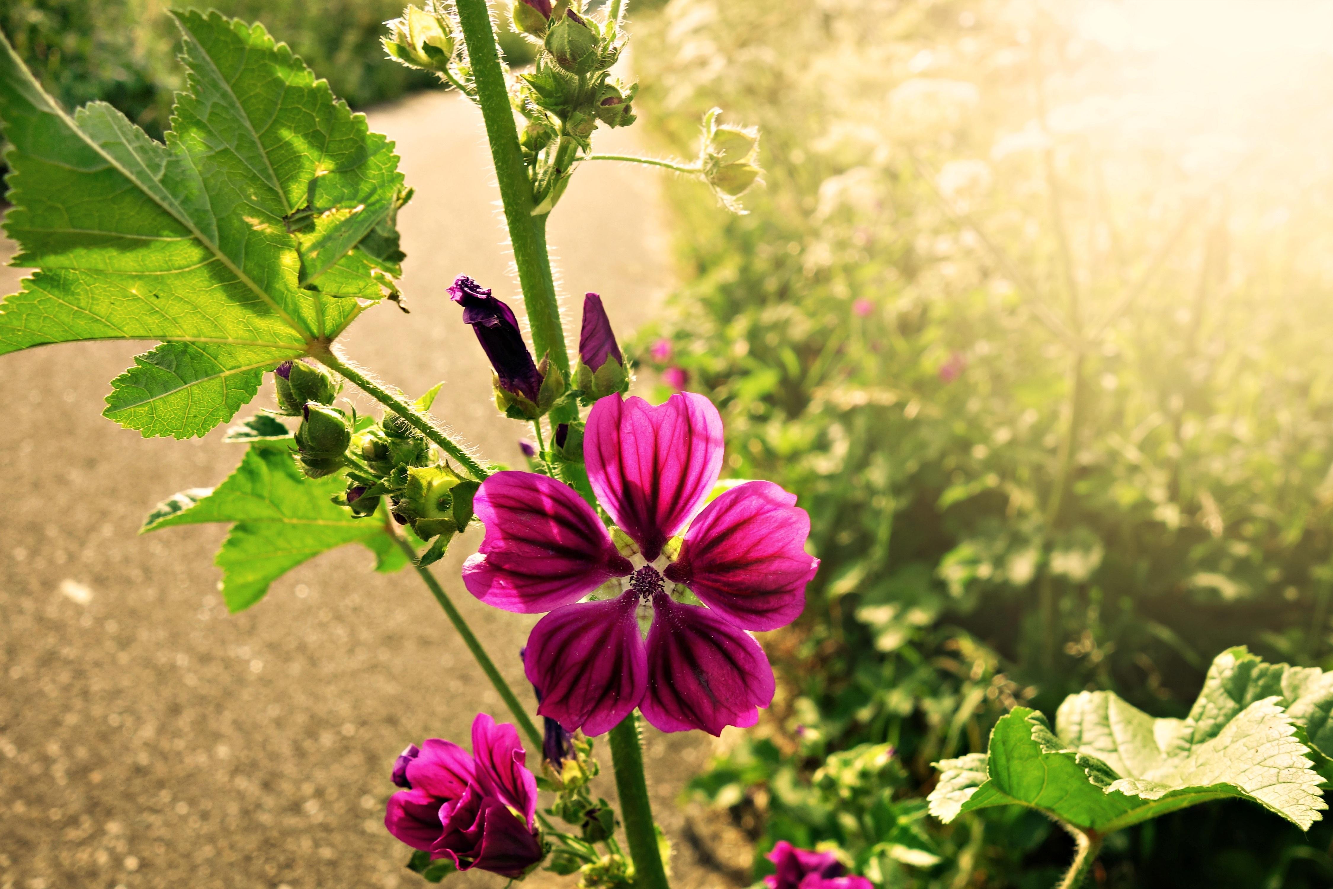 kostenlose foto natur bl hen feld fotografie lila sommer nat rlich botanik garten. Black Bedroom Furniture Sets. Home Design Ideas