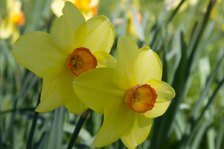 картинки цветка нарцисса можно заменять маргарином