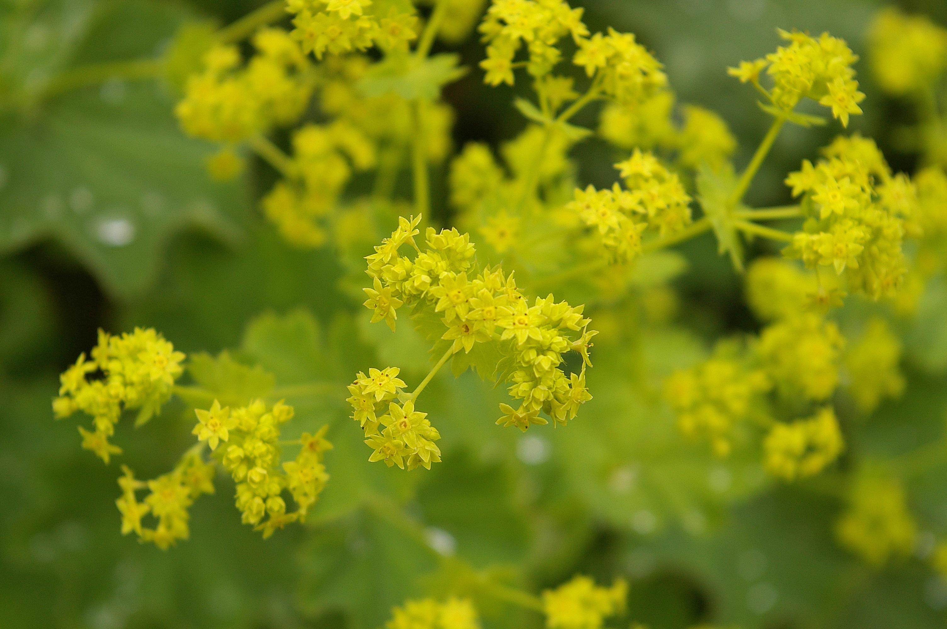 free images nature blossom bloom summer food herb. Black Bedroom Furniture Sets. Home Design Ideas