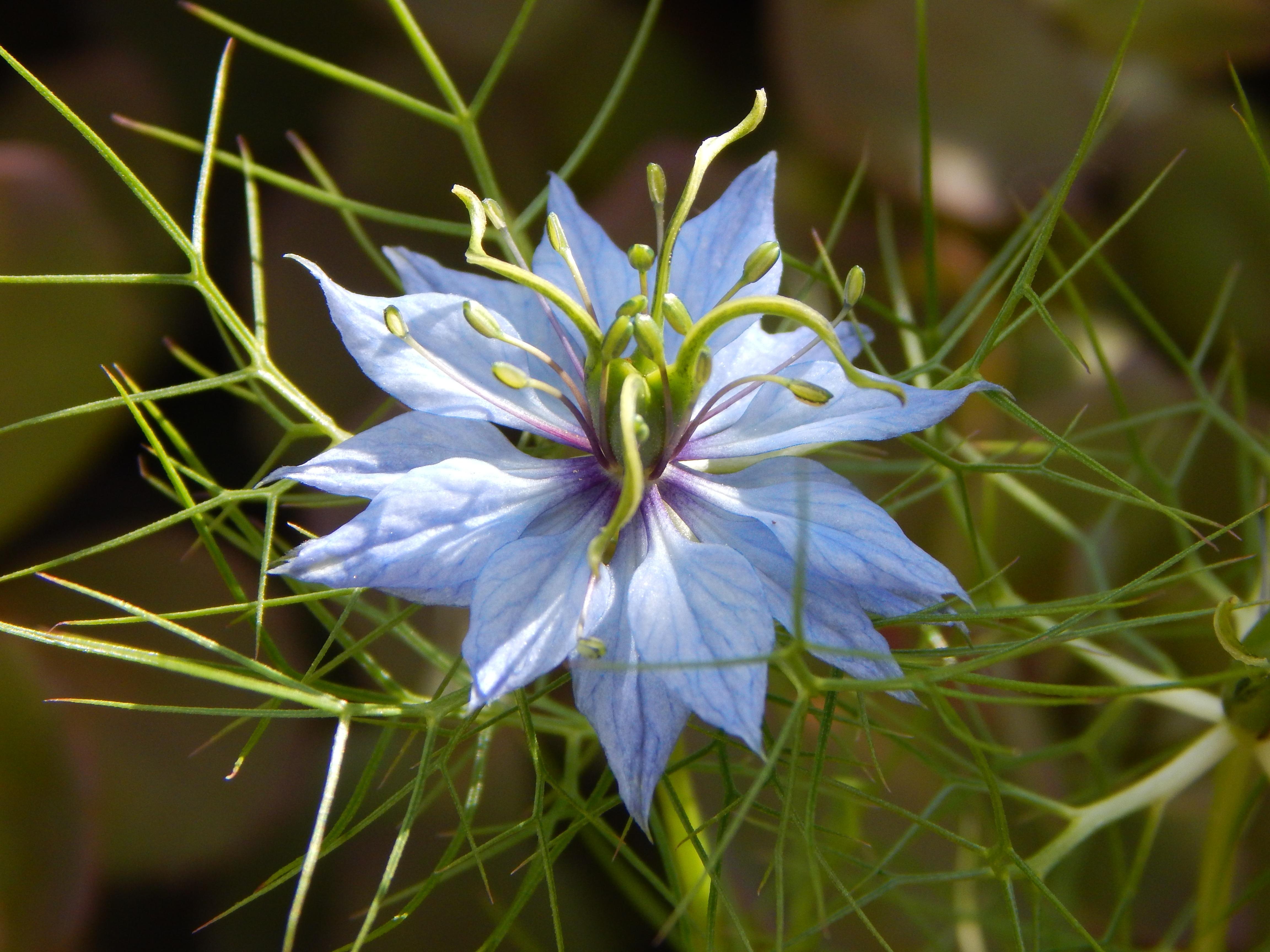 images gratuites la nature fleur floraison t produire botanique bleu fermer flore. Black Bedroom Furniture Sets. Home Design Ideas