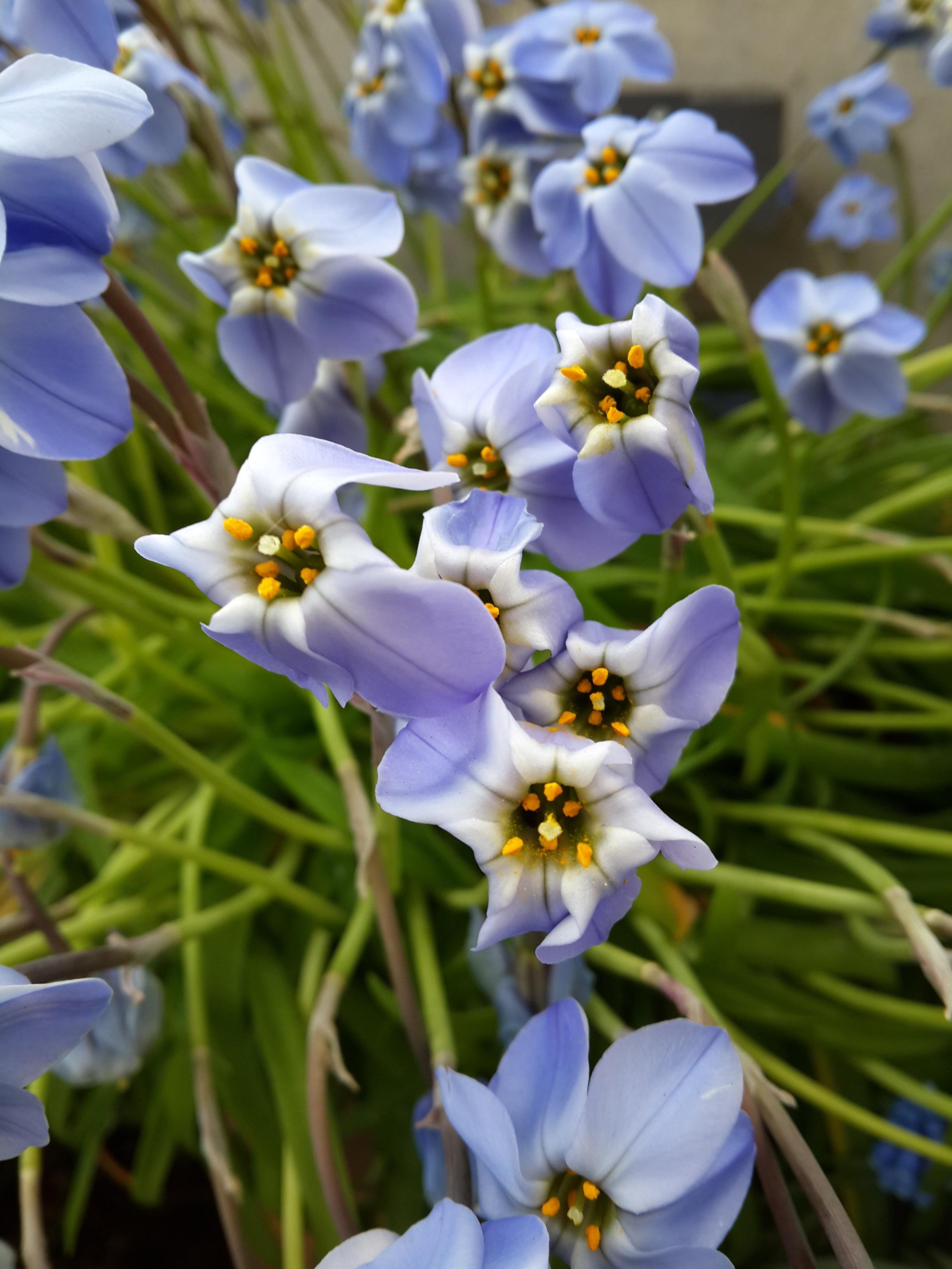Fotos Gratis Naturaleza Botanica Flora Flor Silvestre Flores Azalea Planta Floreciendo Petalos Azules Planta De Tierra Jardines De Kew 2448x3264 864598 Imagenes Gratis Pxhere