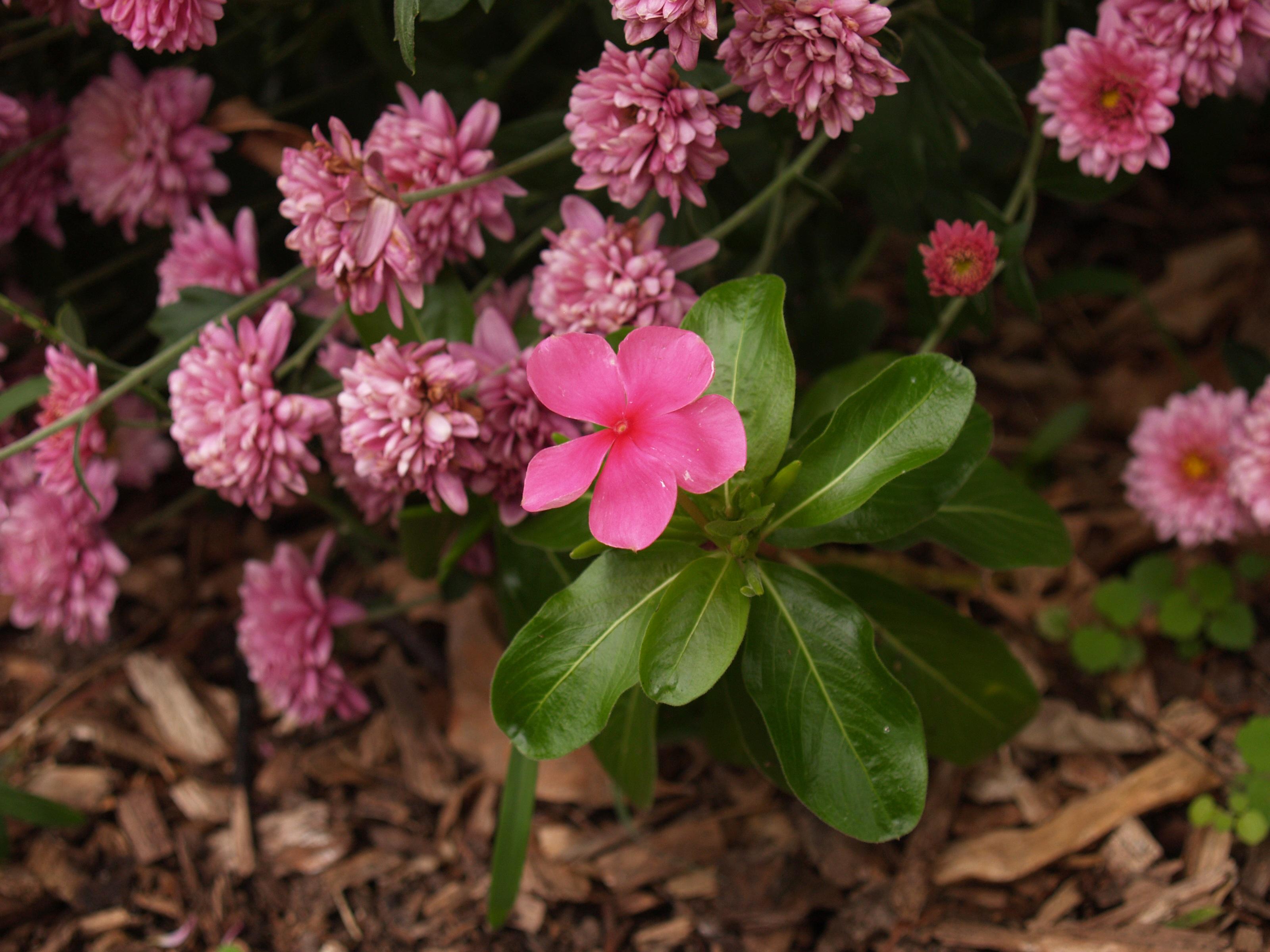 Free Images : nature, blossom, herb, botany, pink, flora