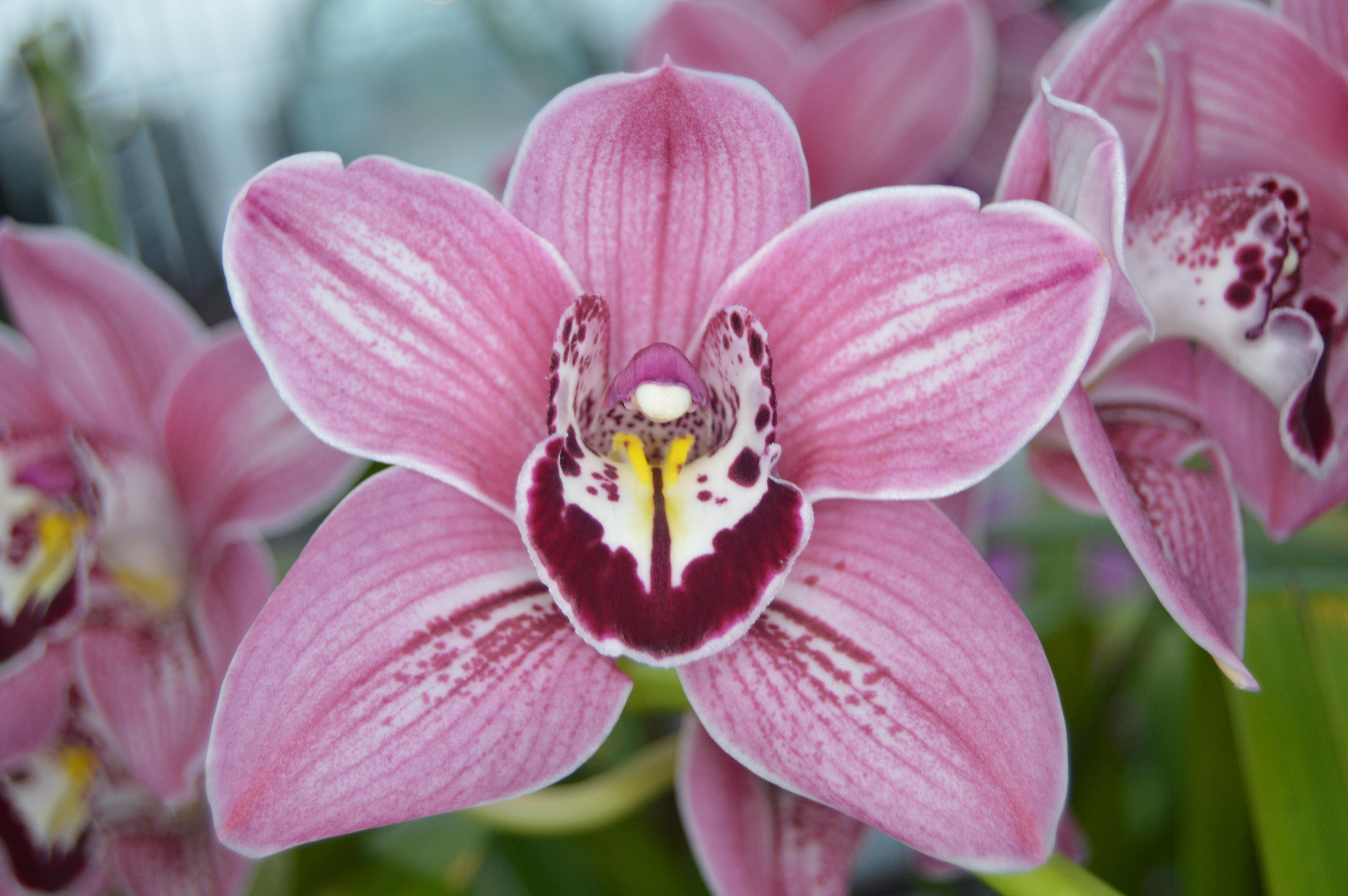 fotos gratis naturaleza flor pétalo florecer botánica rosado