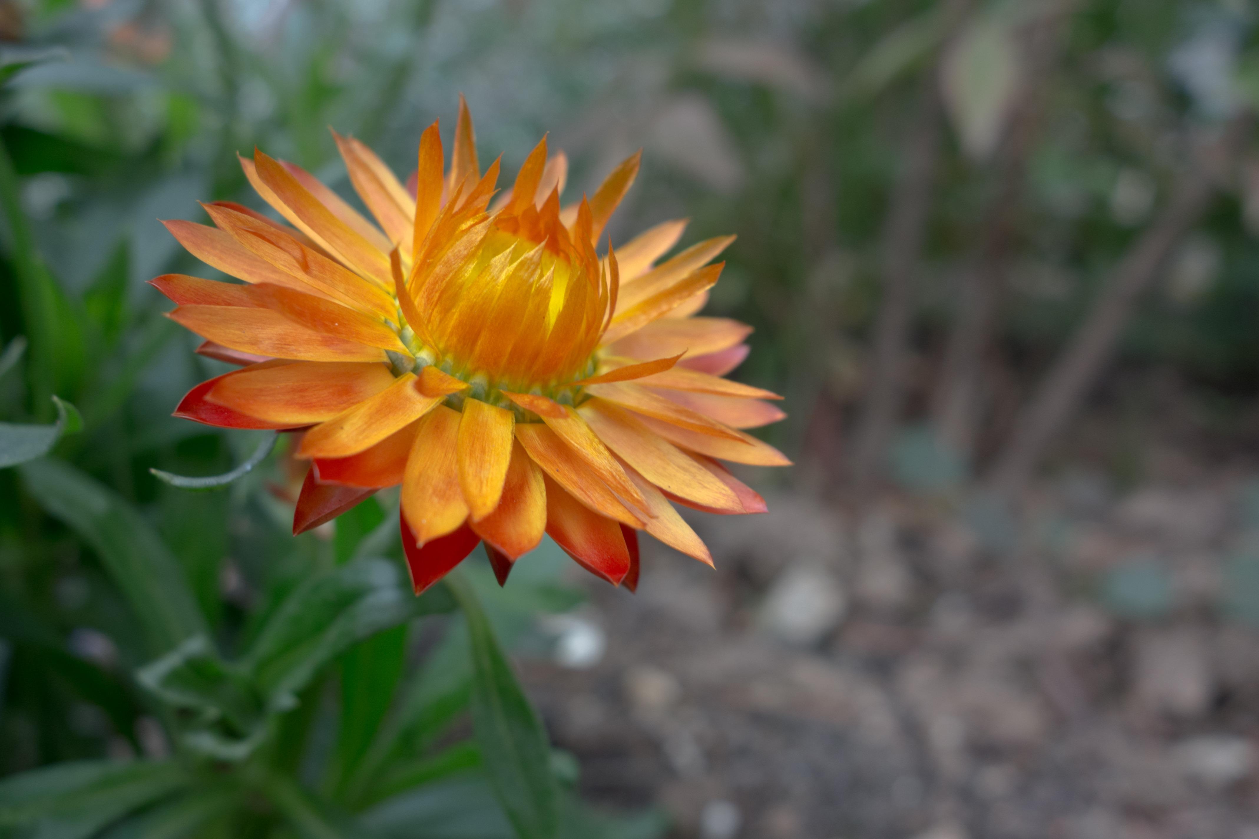 Images Gratuites La Nature Fleur Petale Floraison Botanique