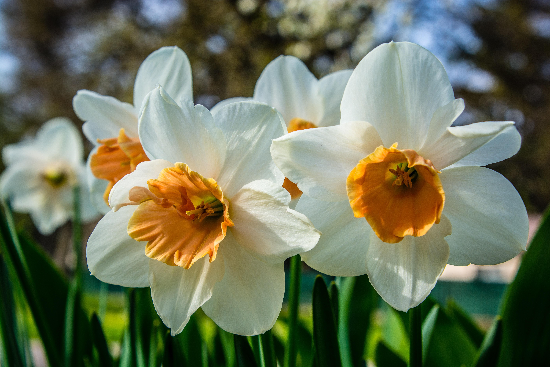 Images gratuites la nature fleur p tale floraison for Amaryllis jaune