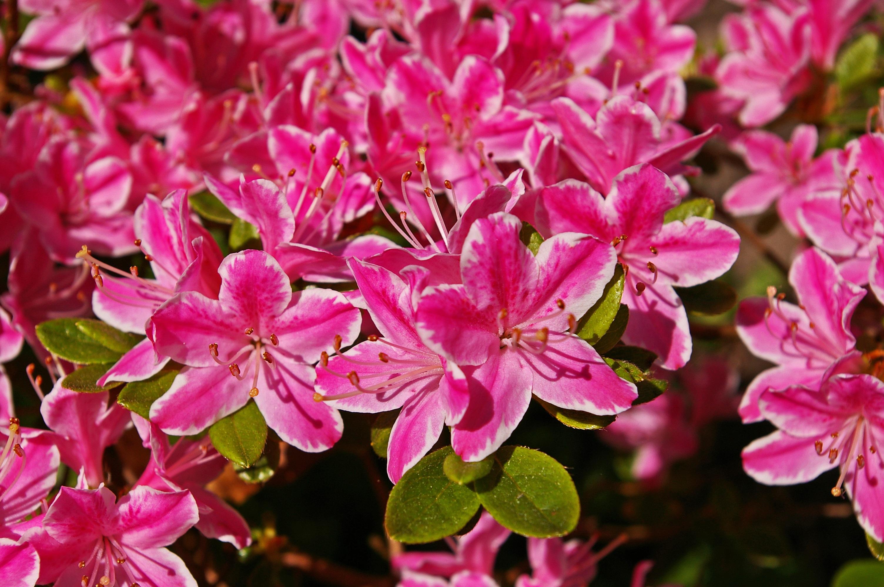 Free Images Nature Blossom Flower Petal Bloom Bush Spring
