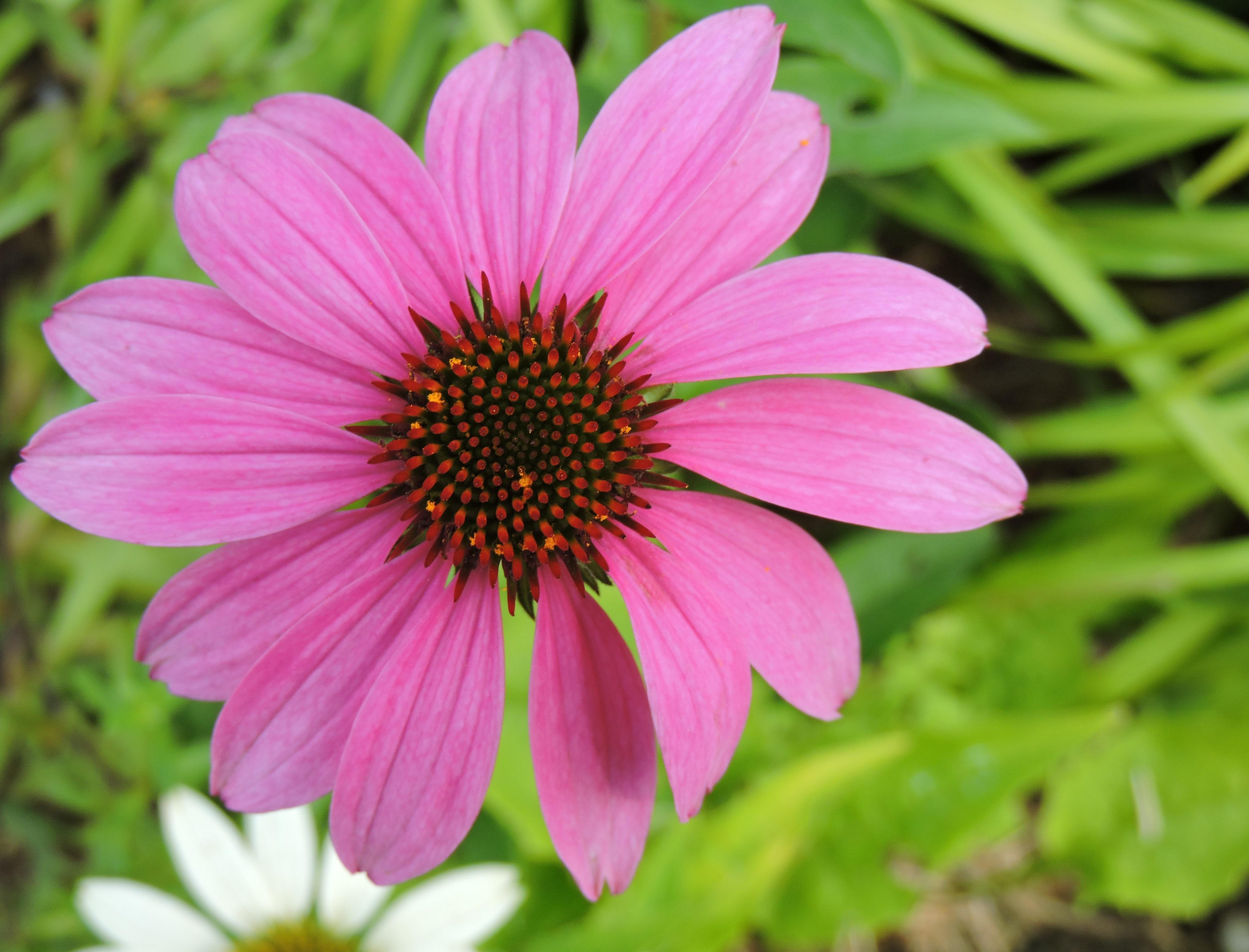 Kostenlose Foto Natur Blühen Blume Blütenblatt Gänseblümchen