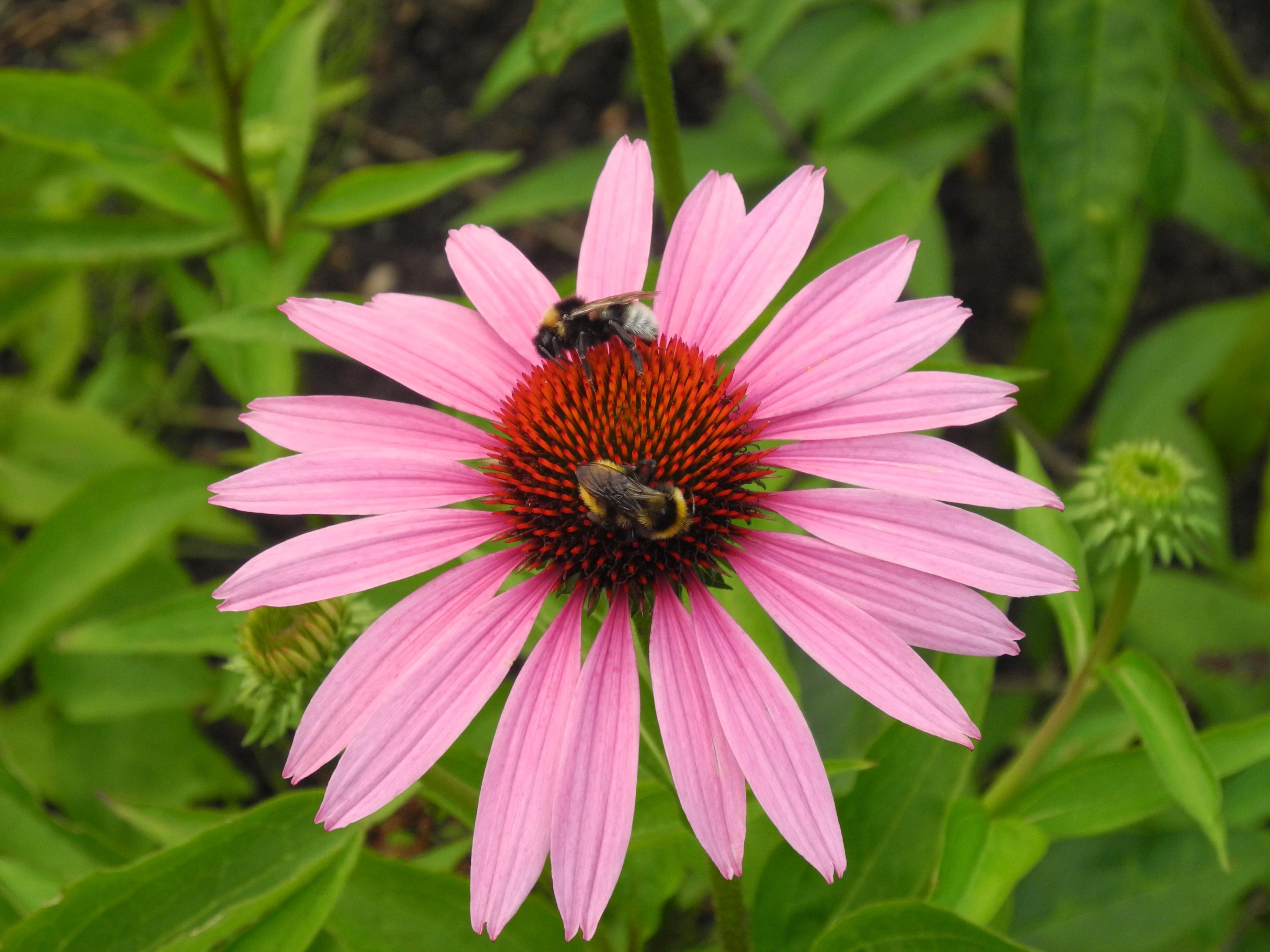kostenlose foto natur bl hen blume bl tenblatt g nsebl mchen pollen best ubung insekt. Black Bedroom Furniture Sets. Home Design Ideas