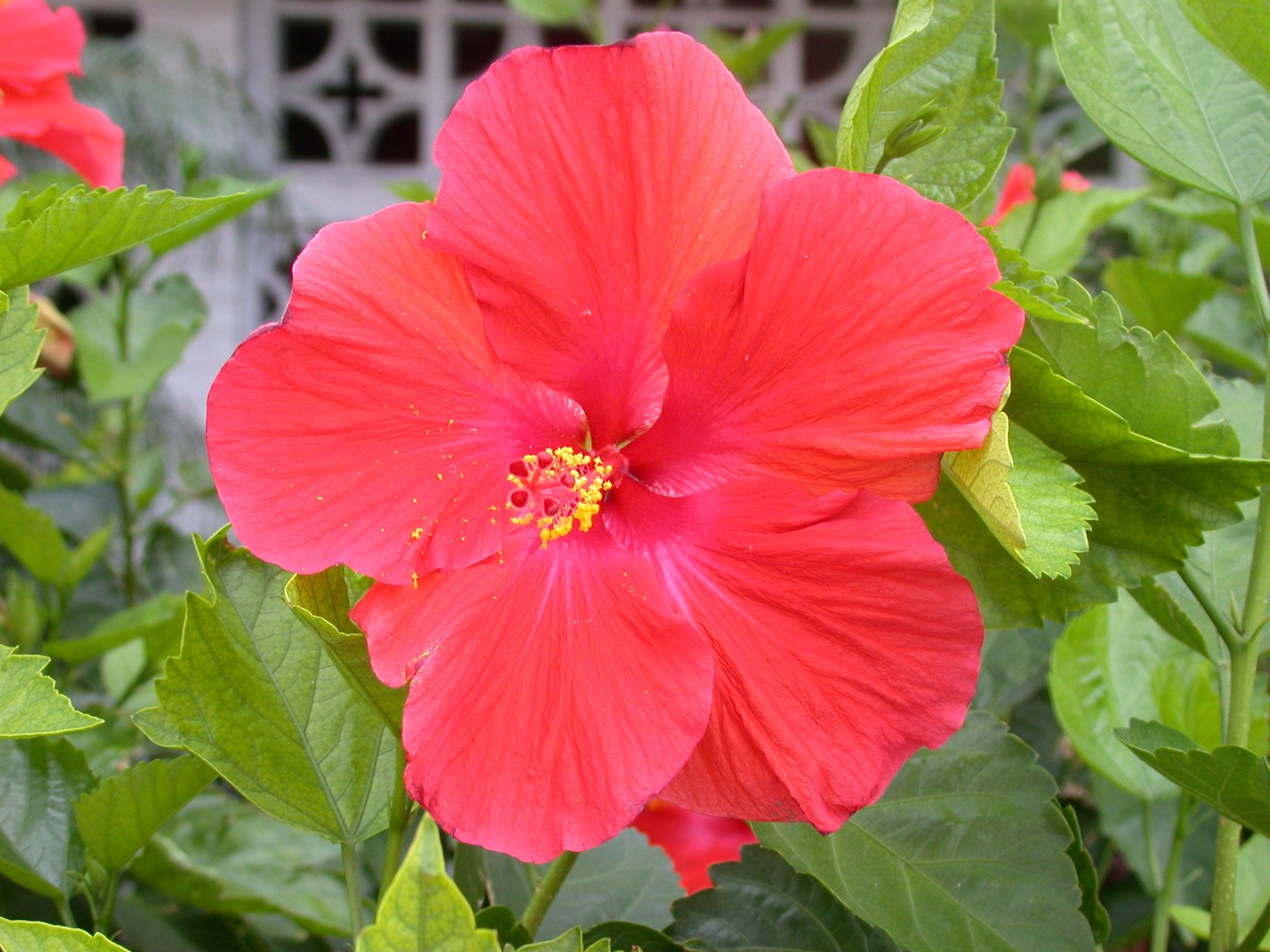Free Images : nature, blossom, flower, petal, bloom, floral, red ...