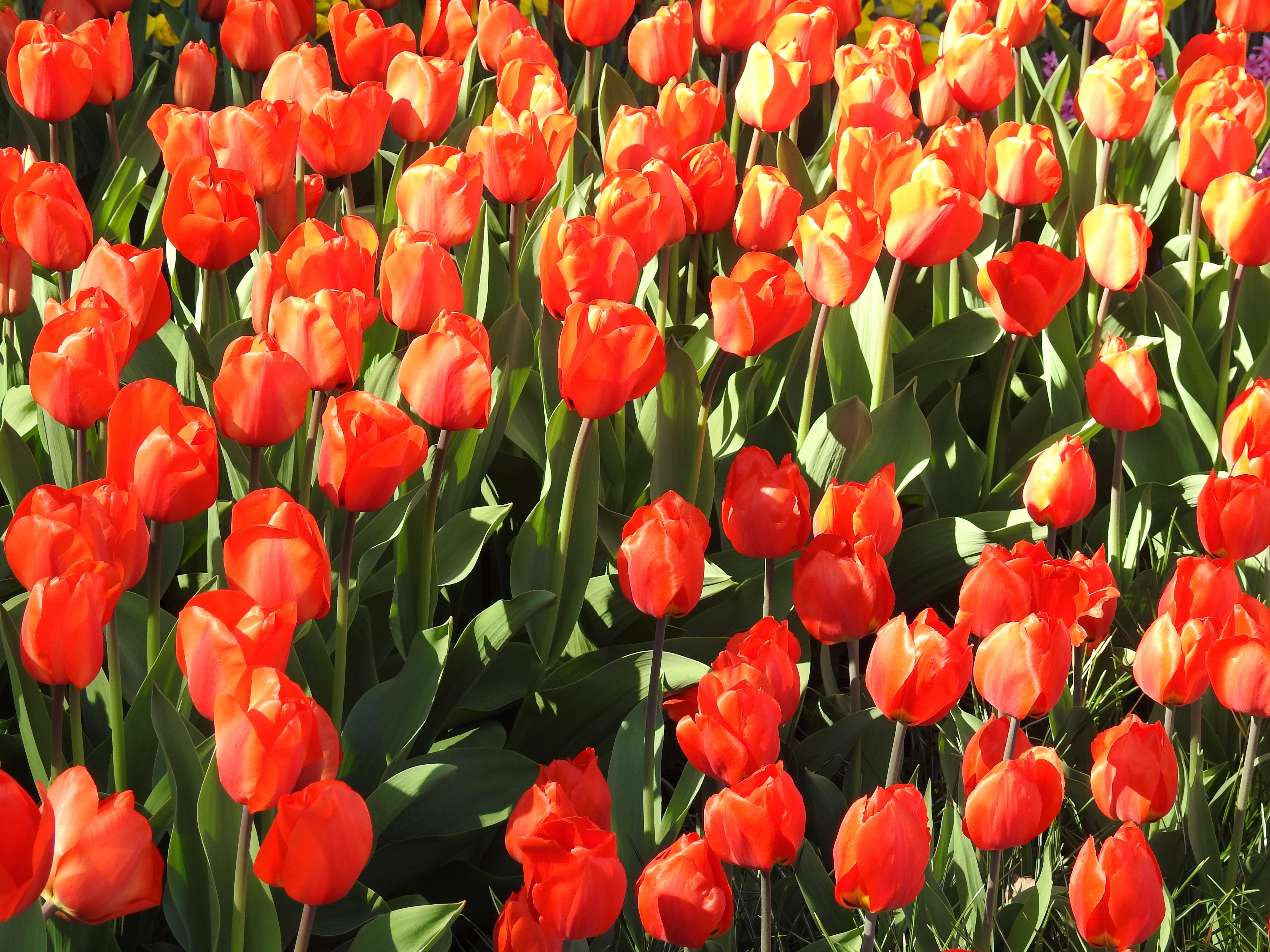 Free Images : nature, blossom, flower, petal, bloom, floral, tulip ...
