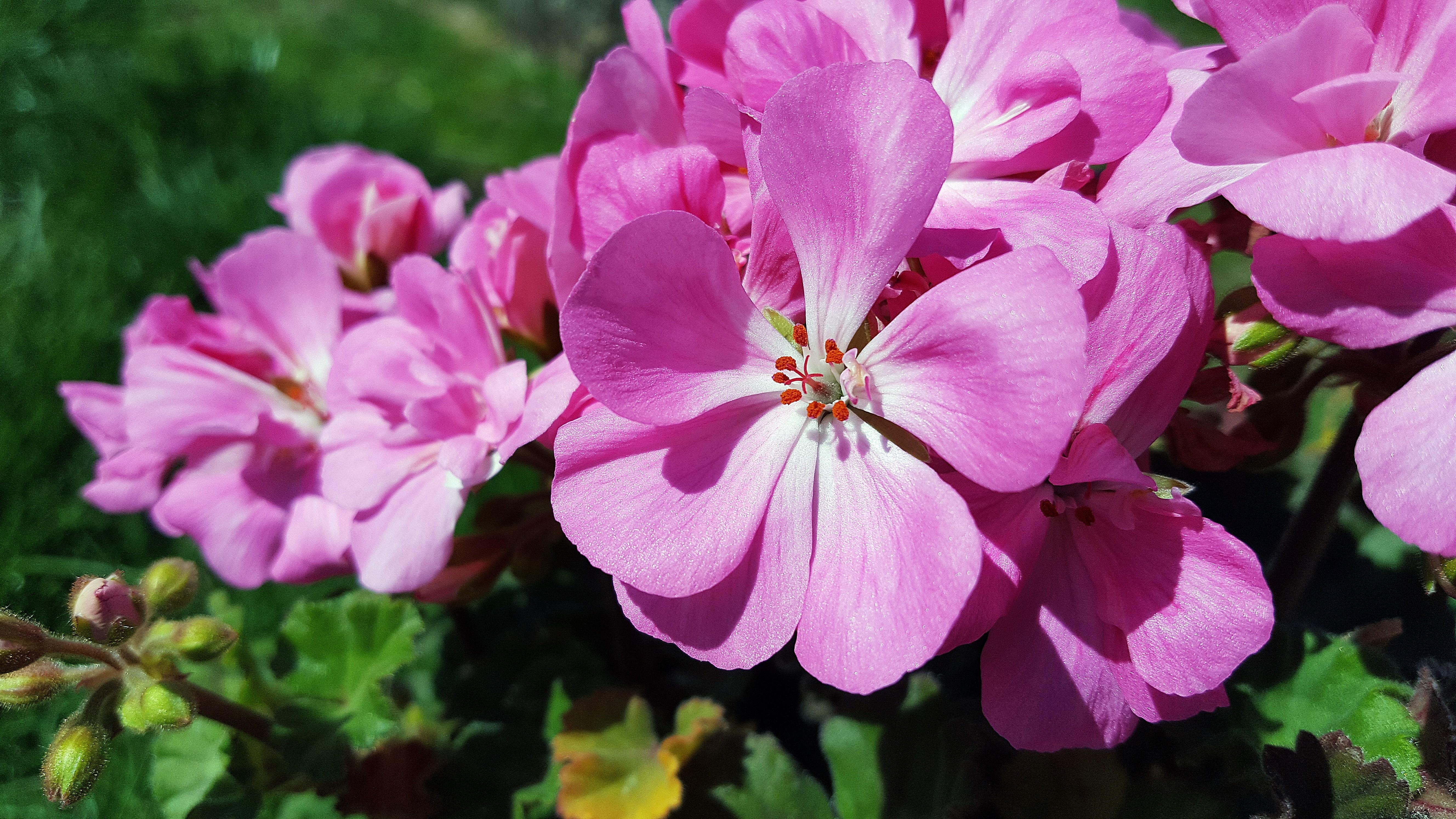 Gambar : alam, mekar, menanam, daun bunga, berkembang, botani, berwarna merah muda, Flora, abadi, bunga liar, bunga-bunga, kerenyam, belukar, musim semi, ...