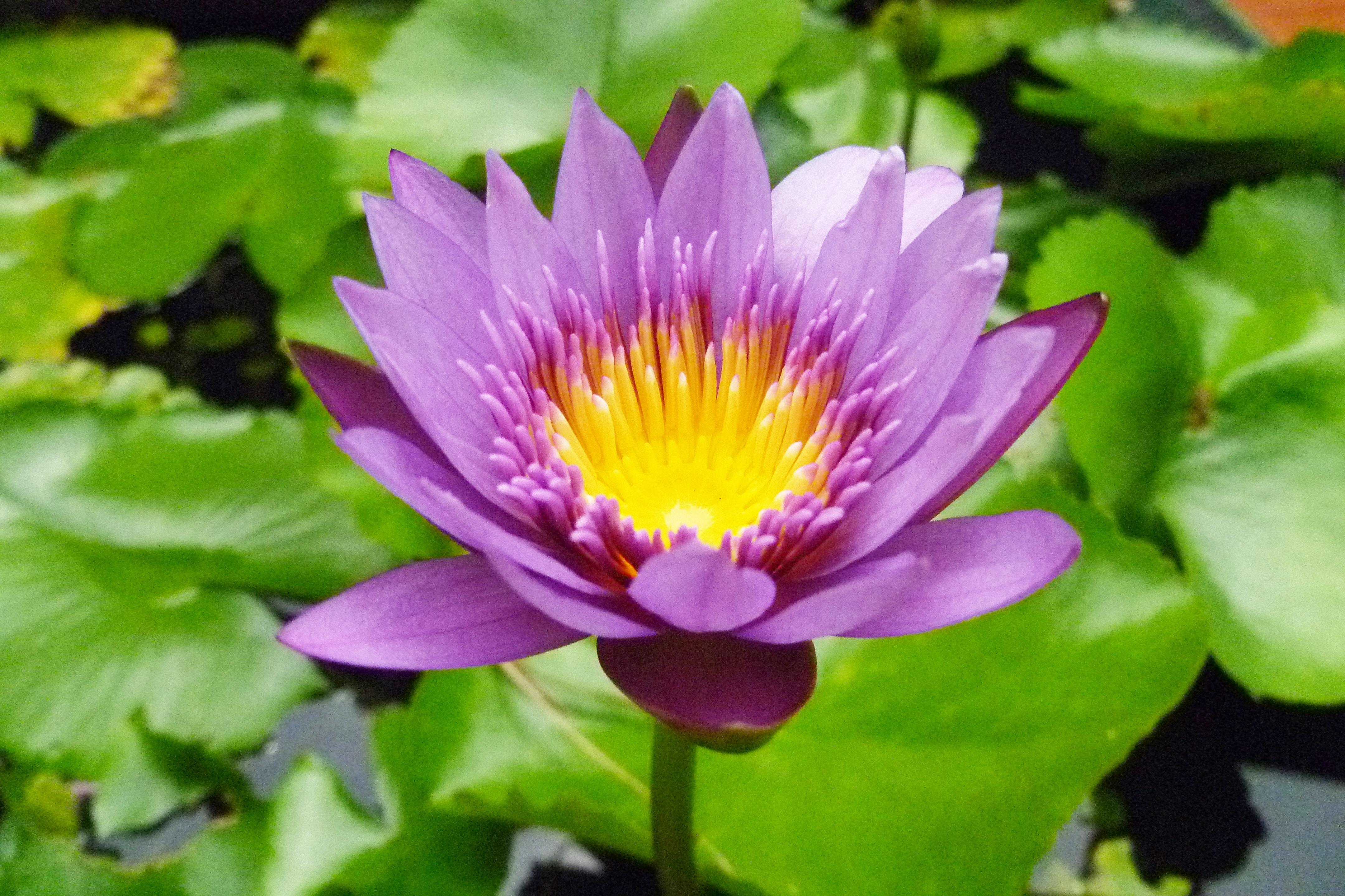 Free Images Nature Petal Bloom Pink Sacred Lotus Aquatic