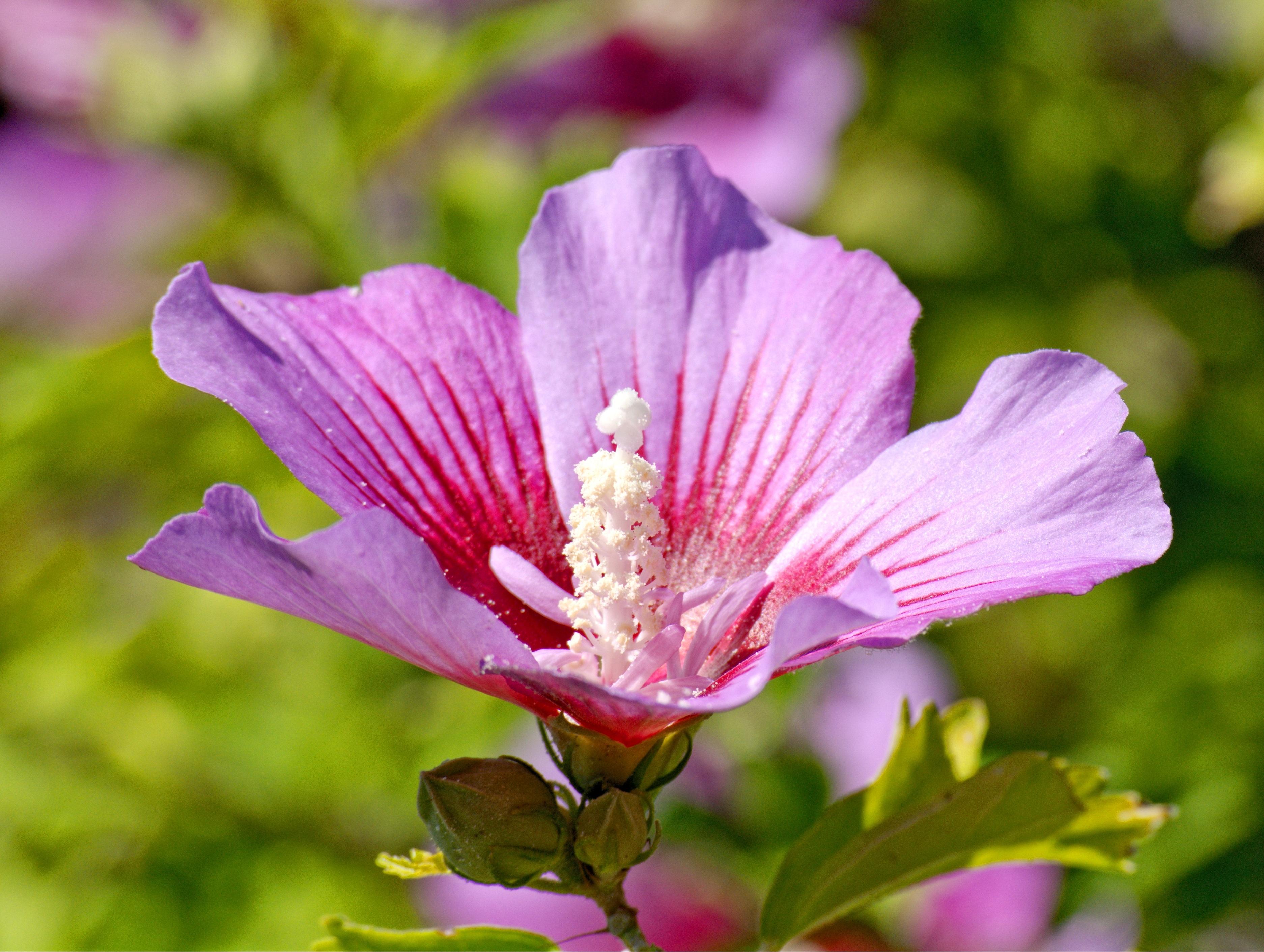 images gratuites : la nature, pétale, floraison, pollen, botanique