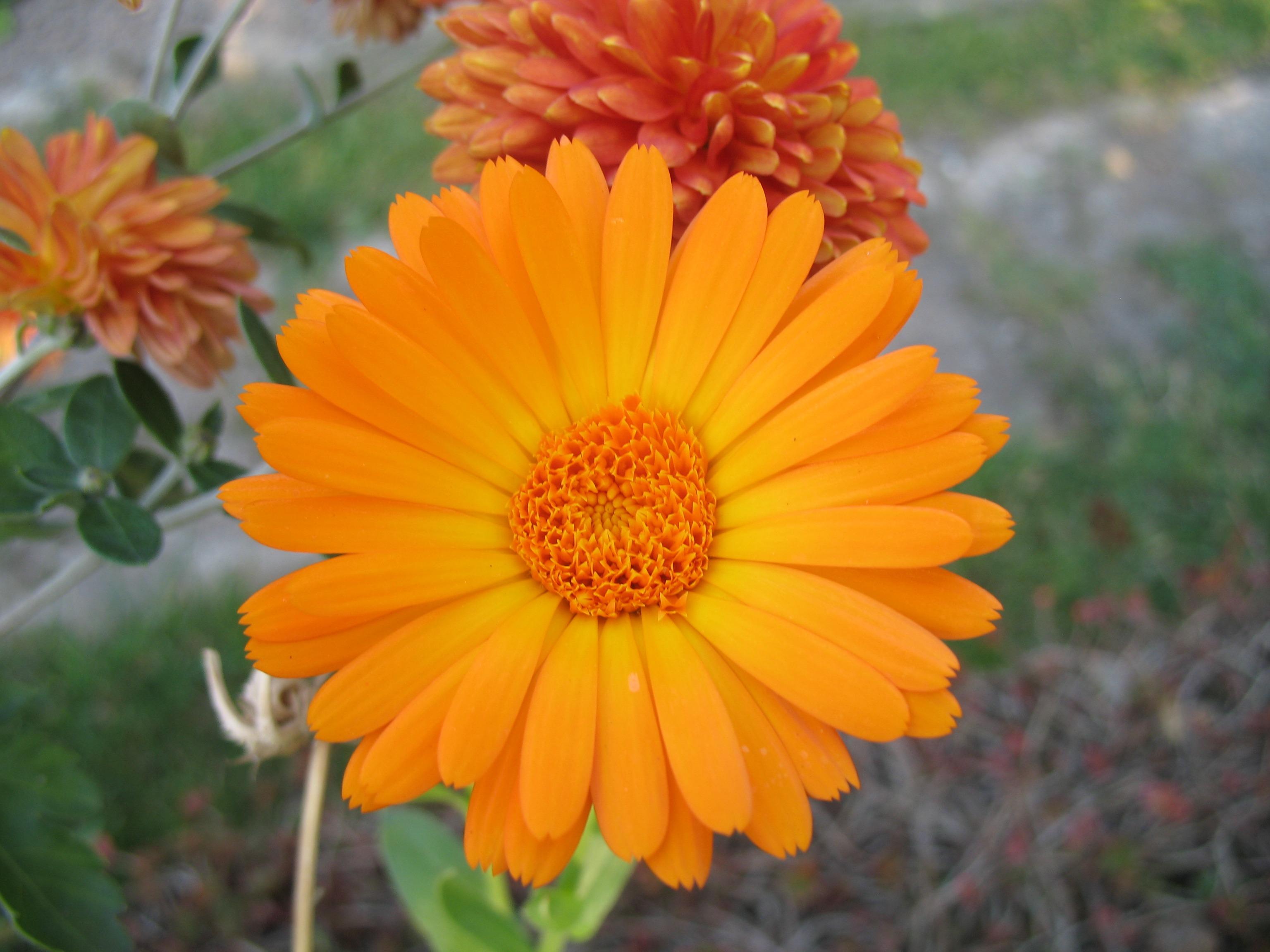 Poze Natură Floare Petală A Inflori Oală Margaretă