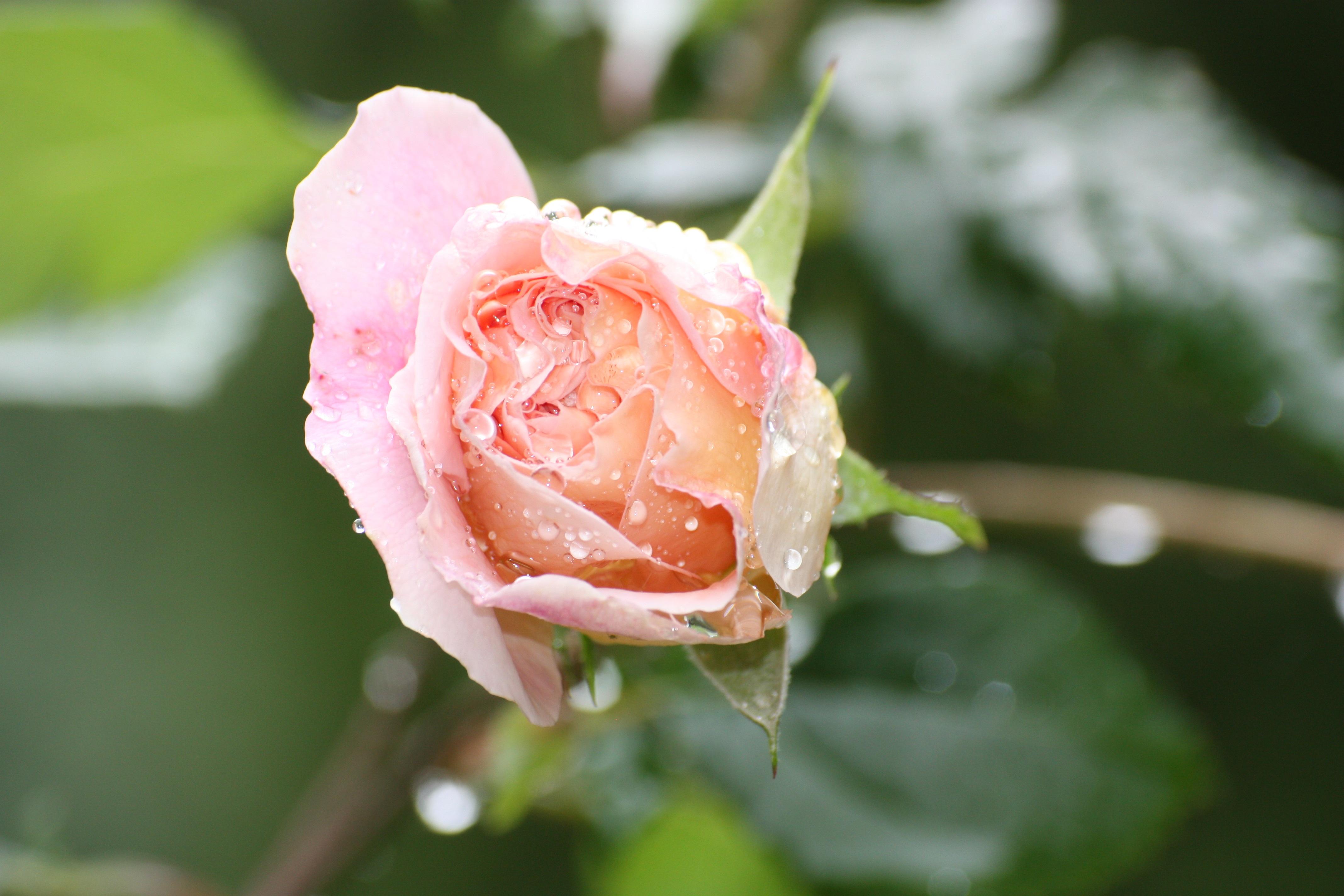 блик распускание цветка фото орленке