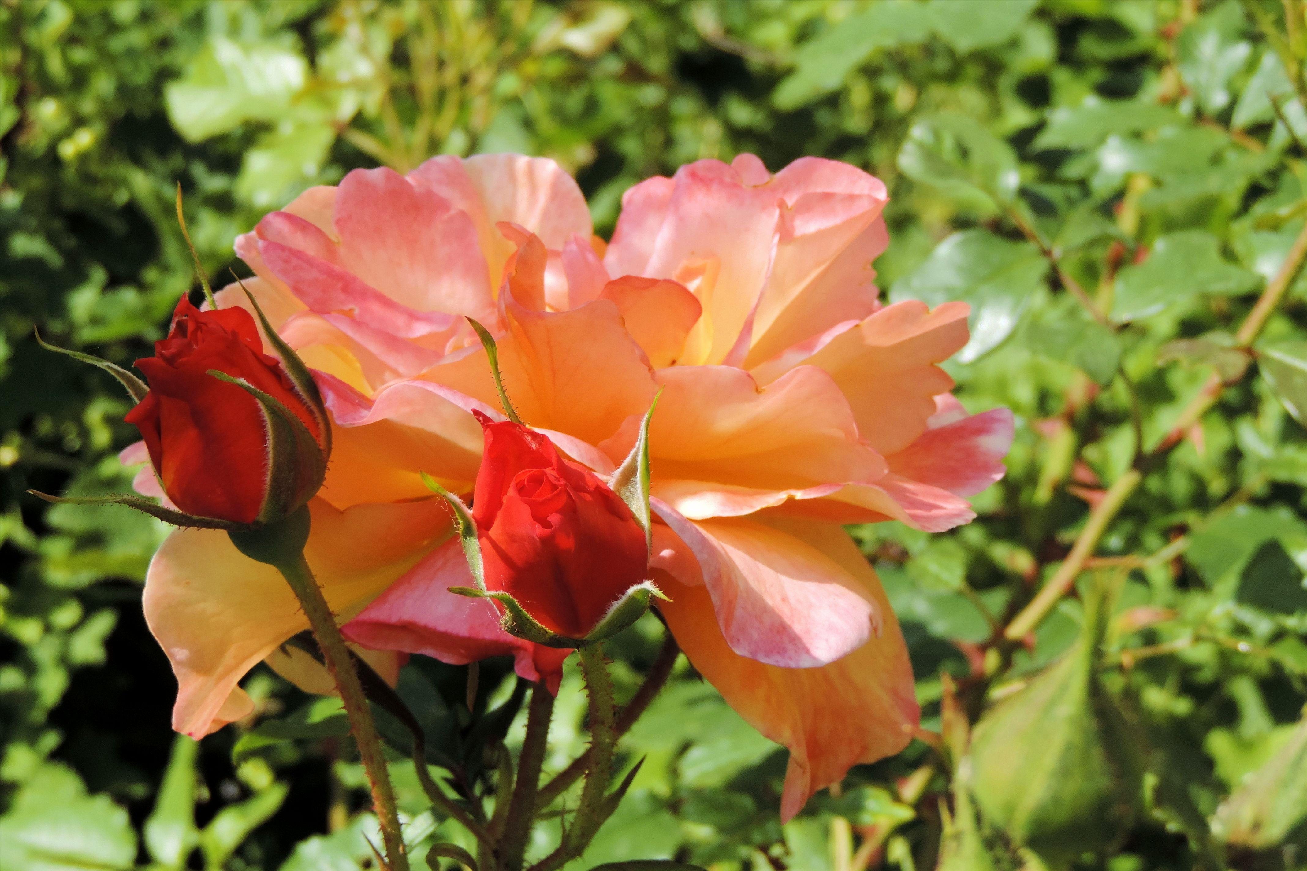 nature blossom plant flower petal bloom rose botany flora shrub smell floribunda rose bloom flowering plant