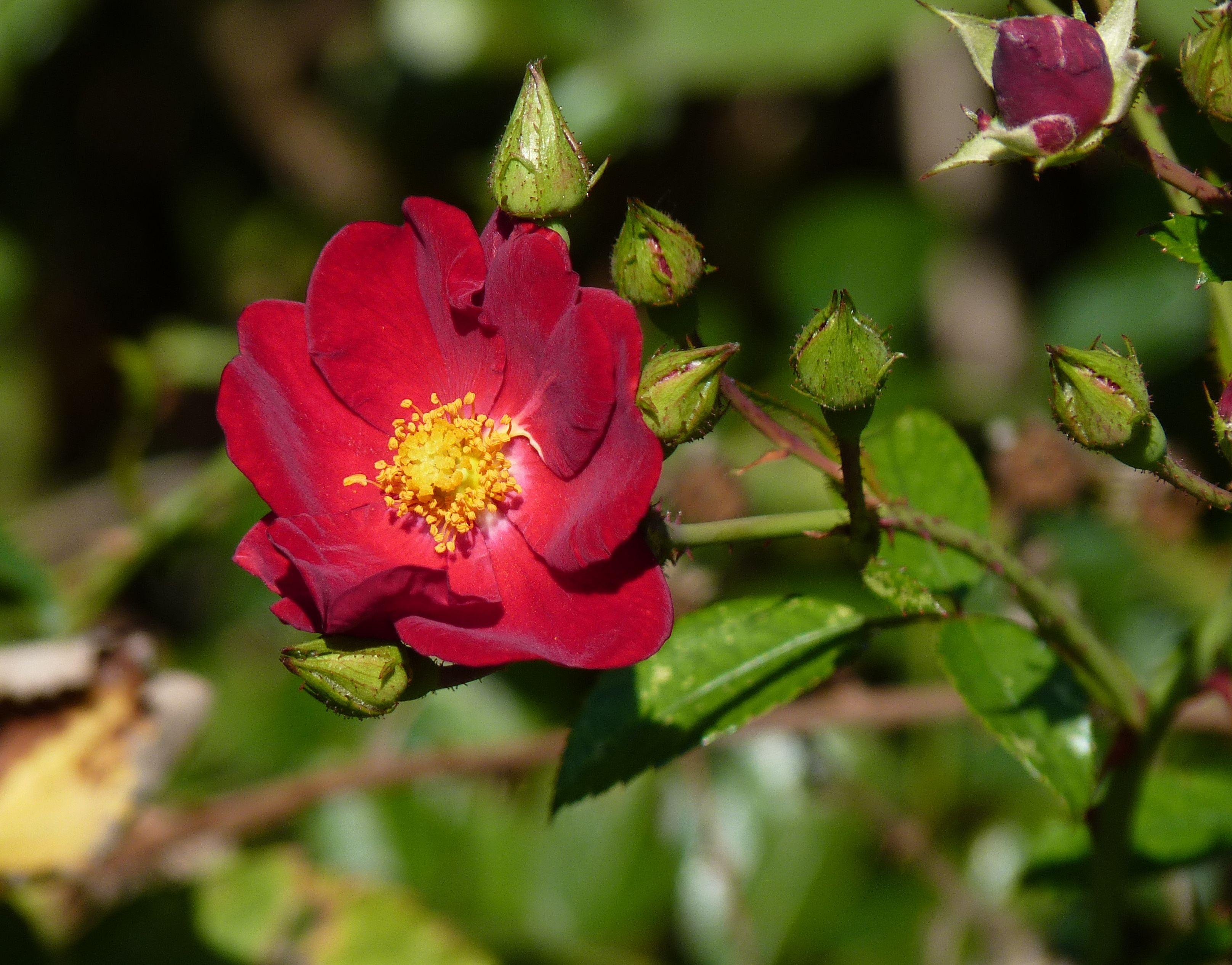 стесняется картинки красивого леса цветы колючий шиповника жаль, что