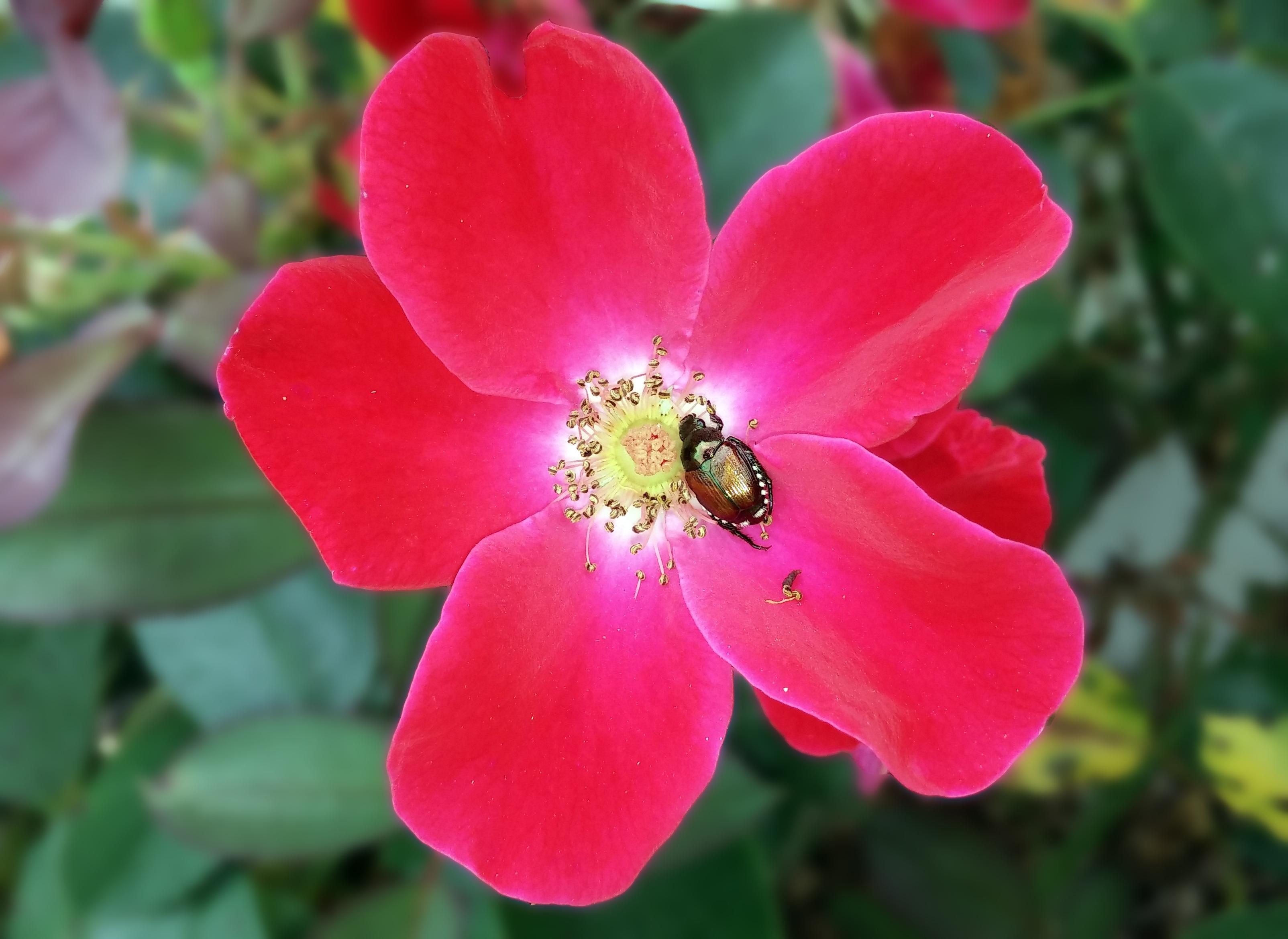 images gratuites : la nature, fleur, pétale, floraison, rose