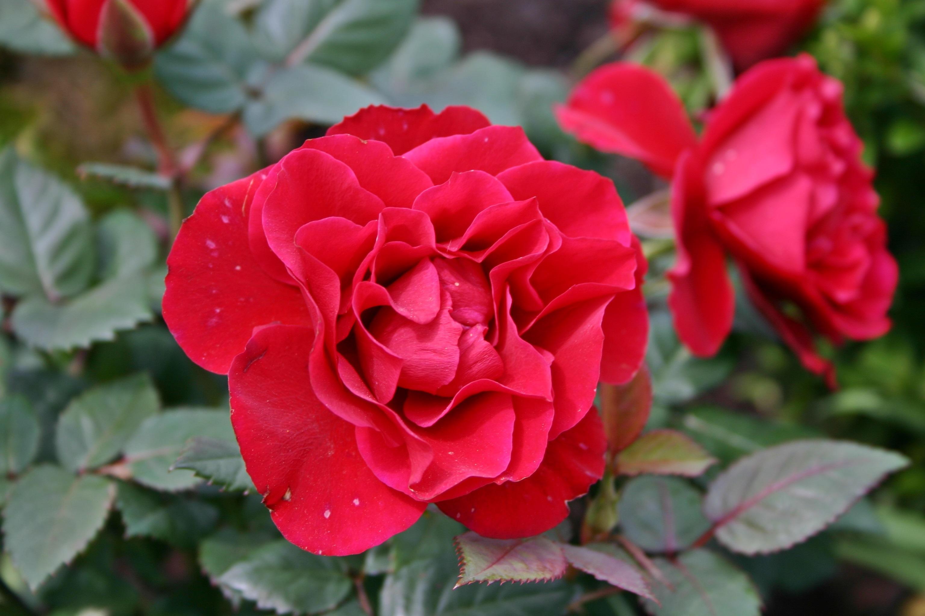 Роза загадка флорибунда красная