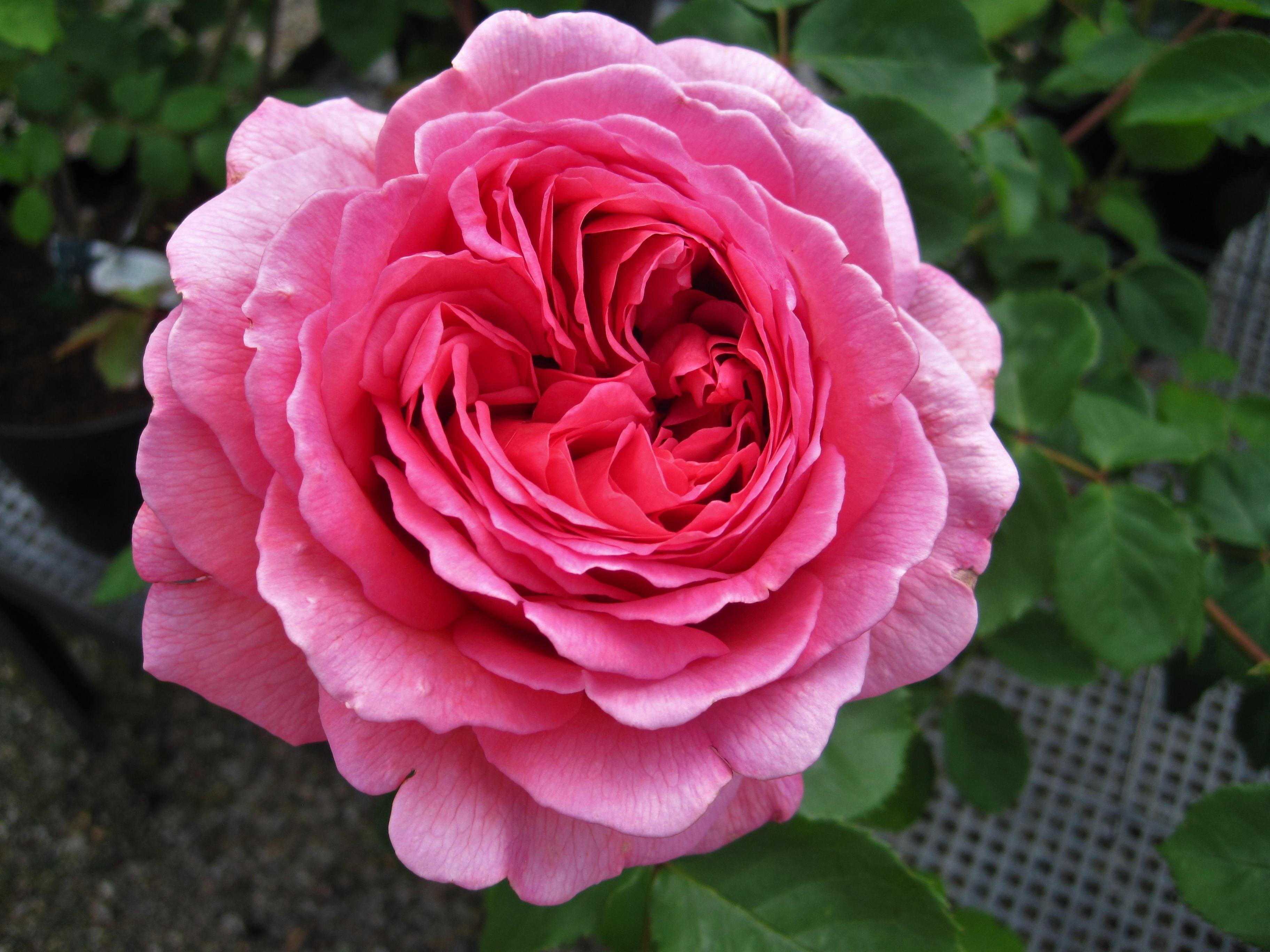 Immagini belle natura fiorire petalo fioritura for Rose da giardino