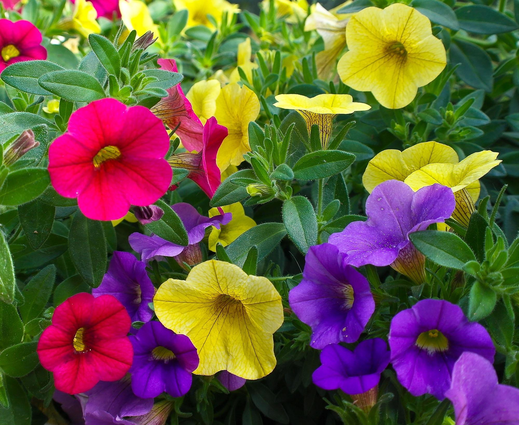 Images gratuites la nature fleur p tale floraison printemps rouge flore fleur sauvage - Image fleur violette gratuite ...