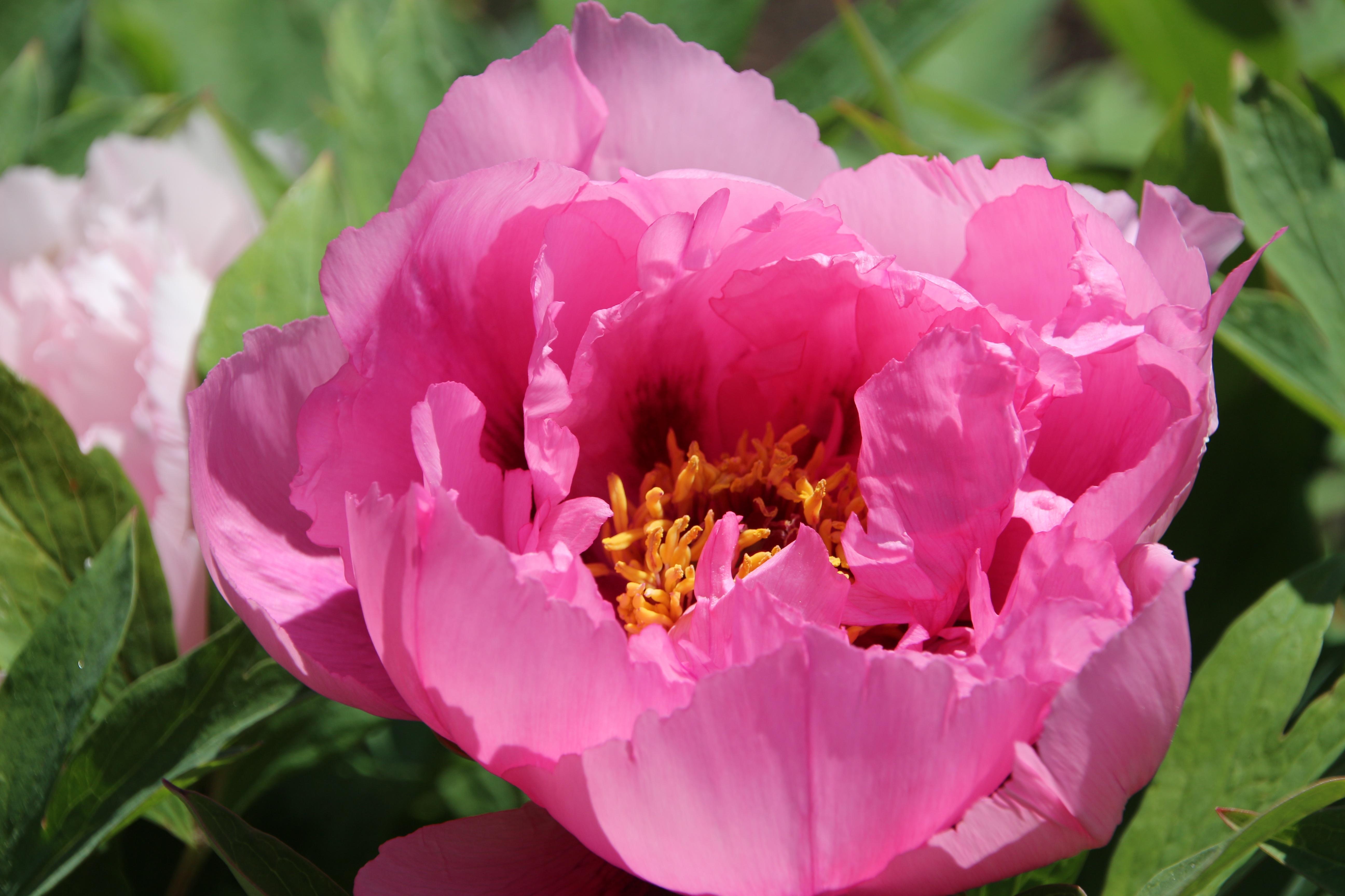 Kostenlose Foto Natur Blühen Blume Blütenblatt Sommer Garten
