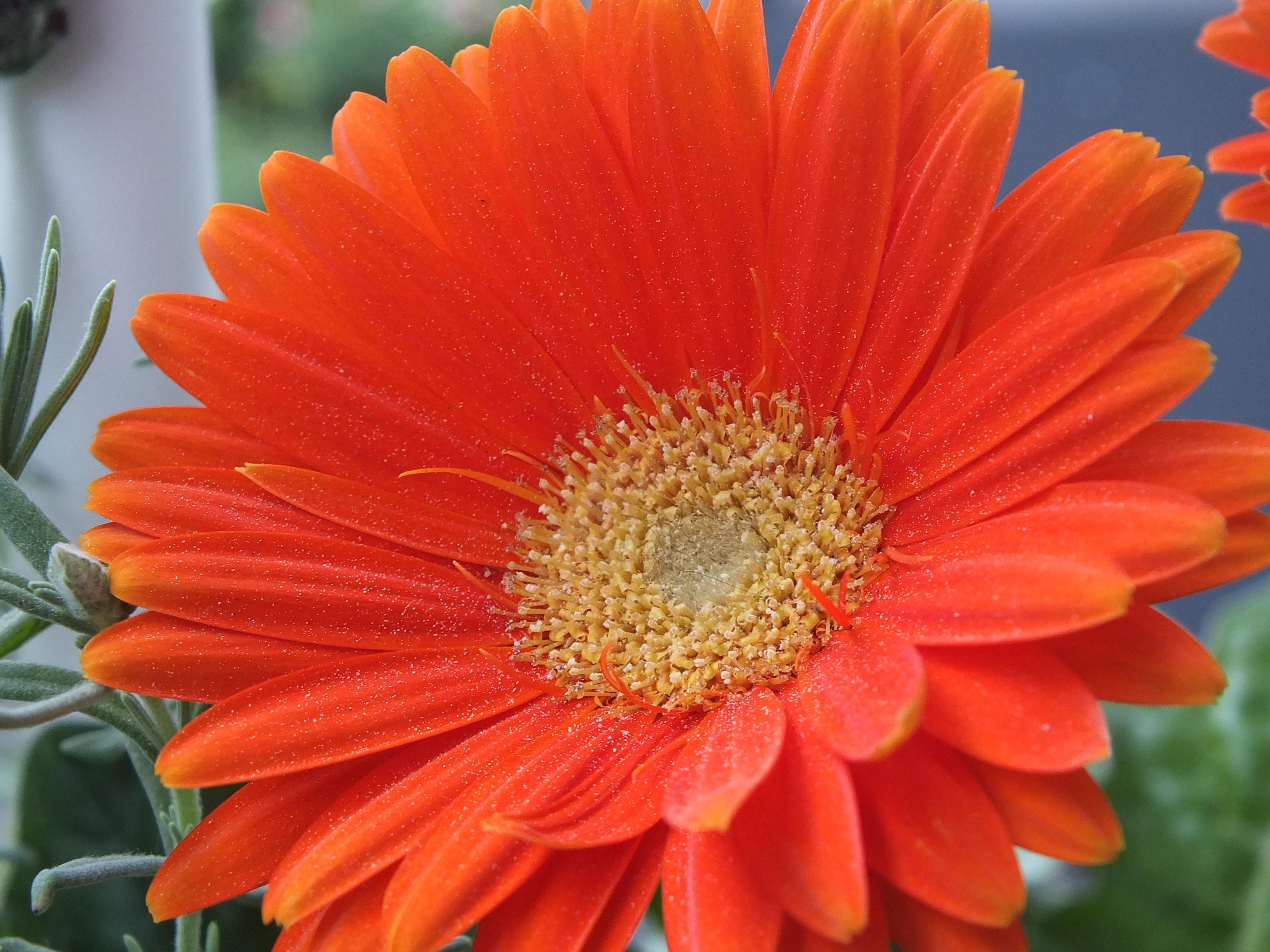 Free Images Nature Blossom Flower Petal Bloom Summer Spring