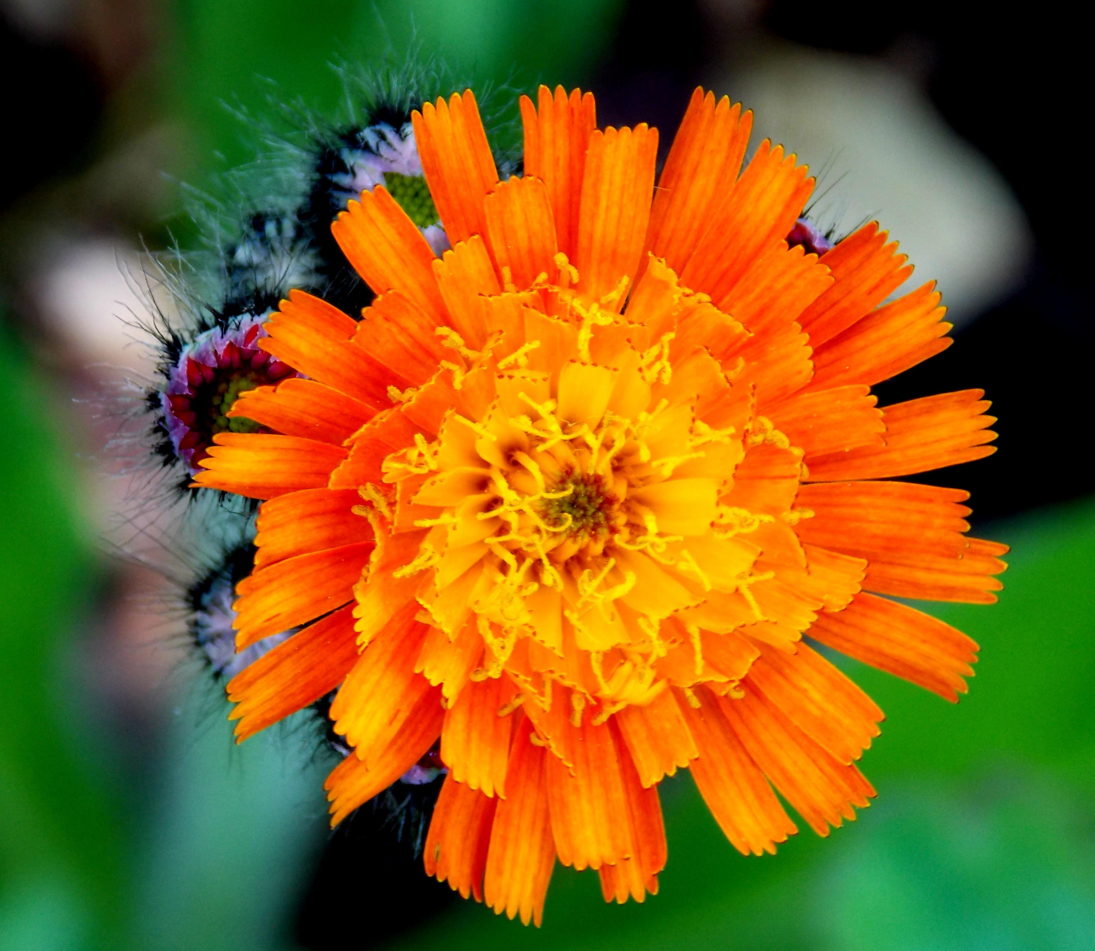 Free Images Nature Blossom Petal Bloom Summer Spring Herb