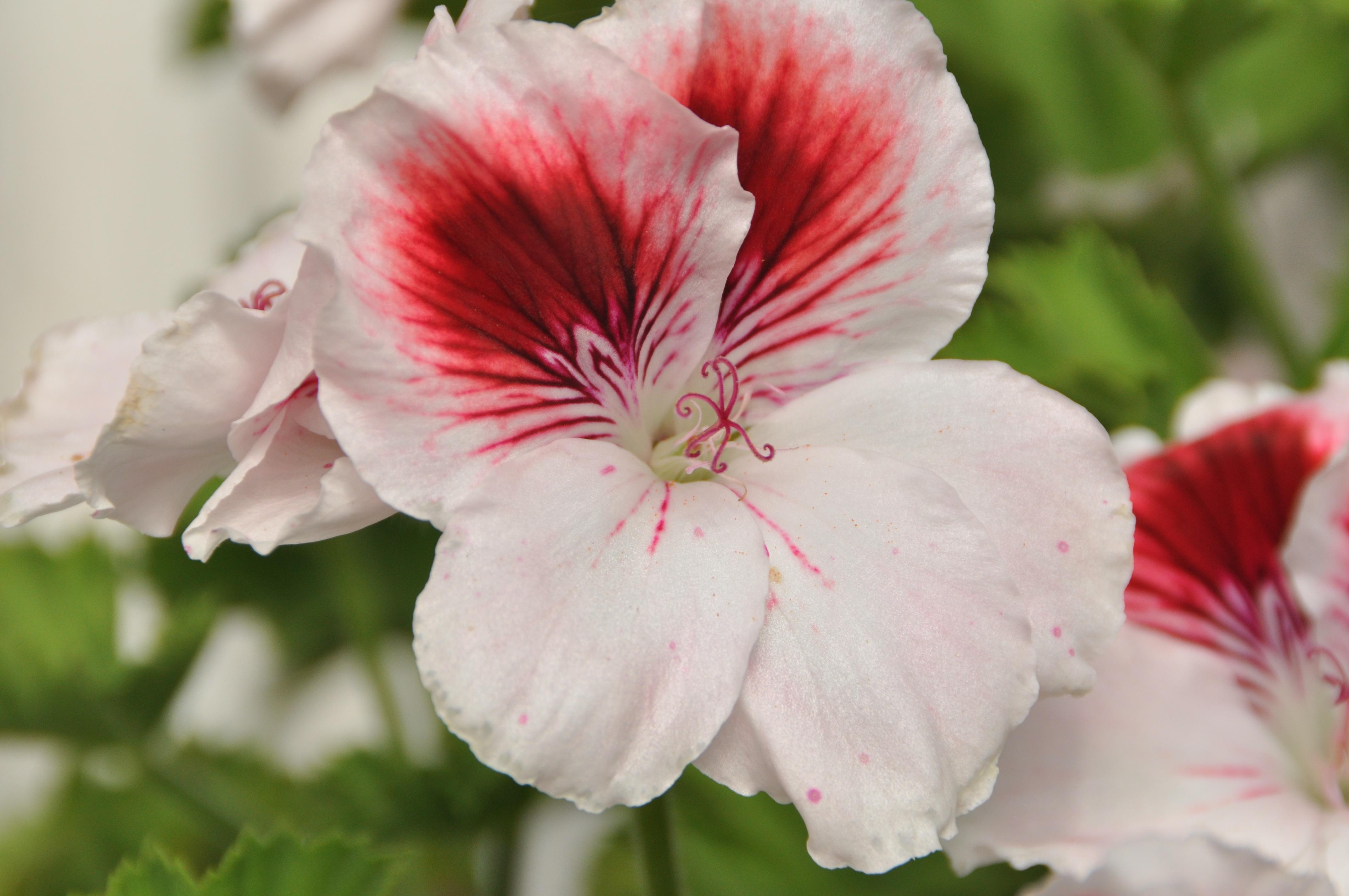 Free Images Nature Blossom Petal Bloom Summer Flora Geranium